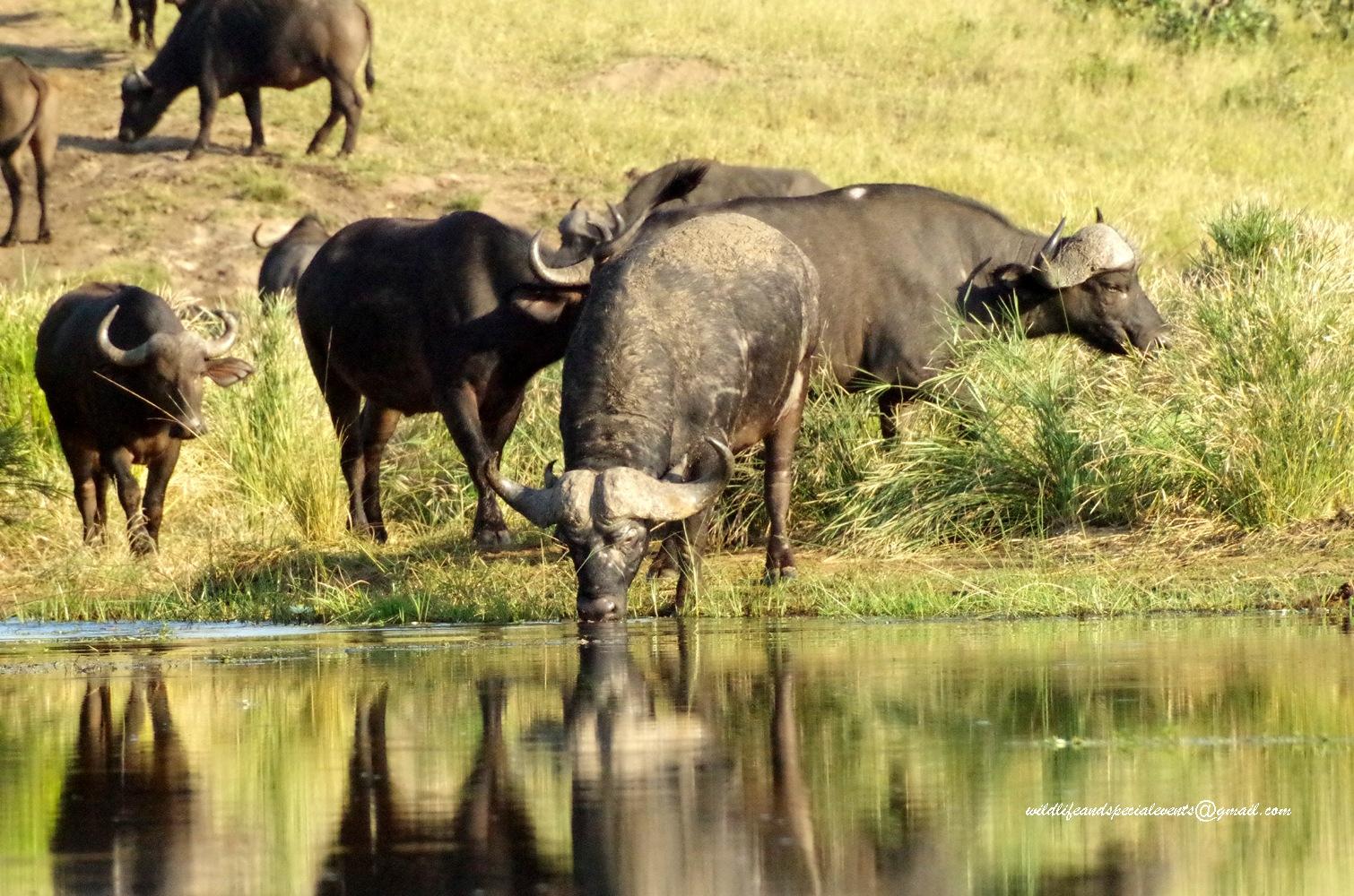 Buffalo by oosie