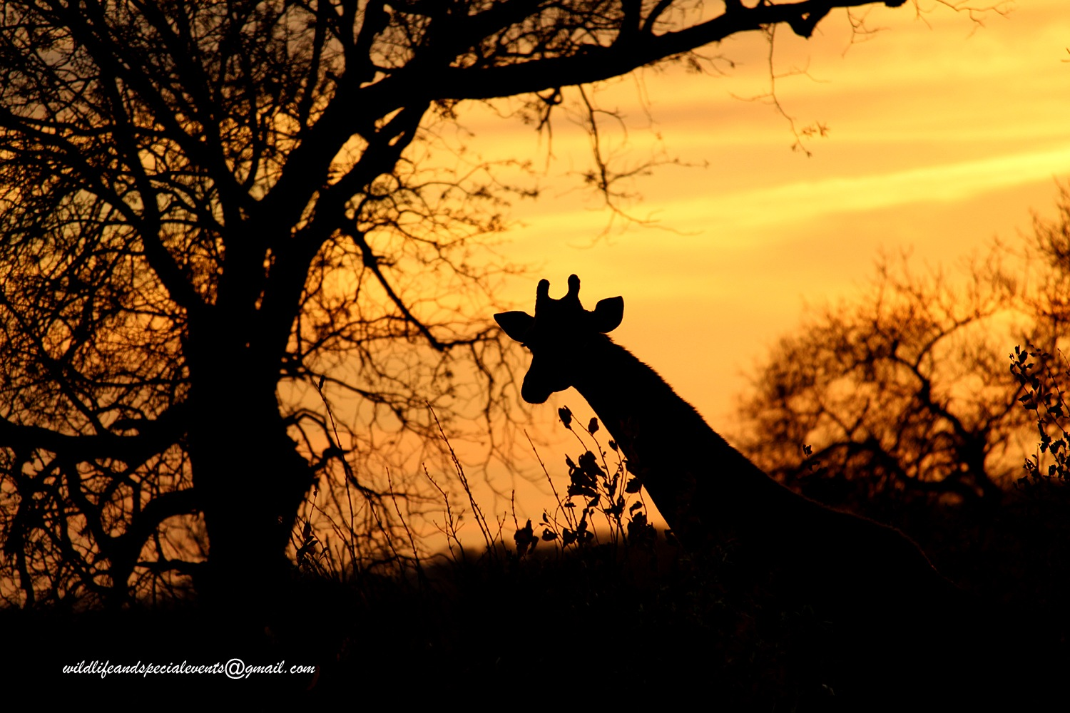 African silhouette by oosie