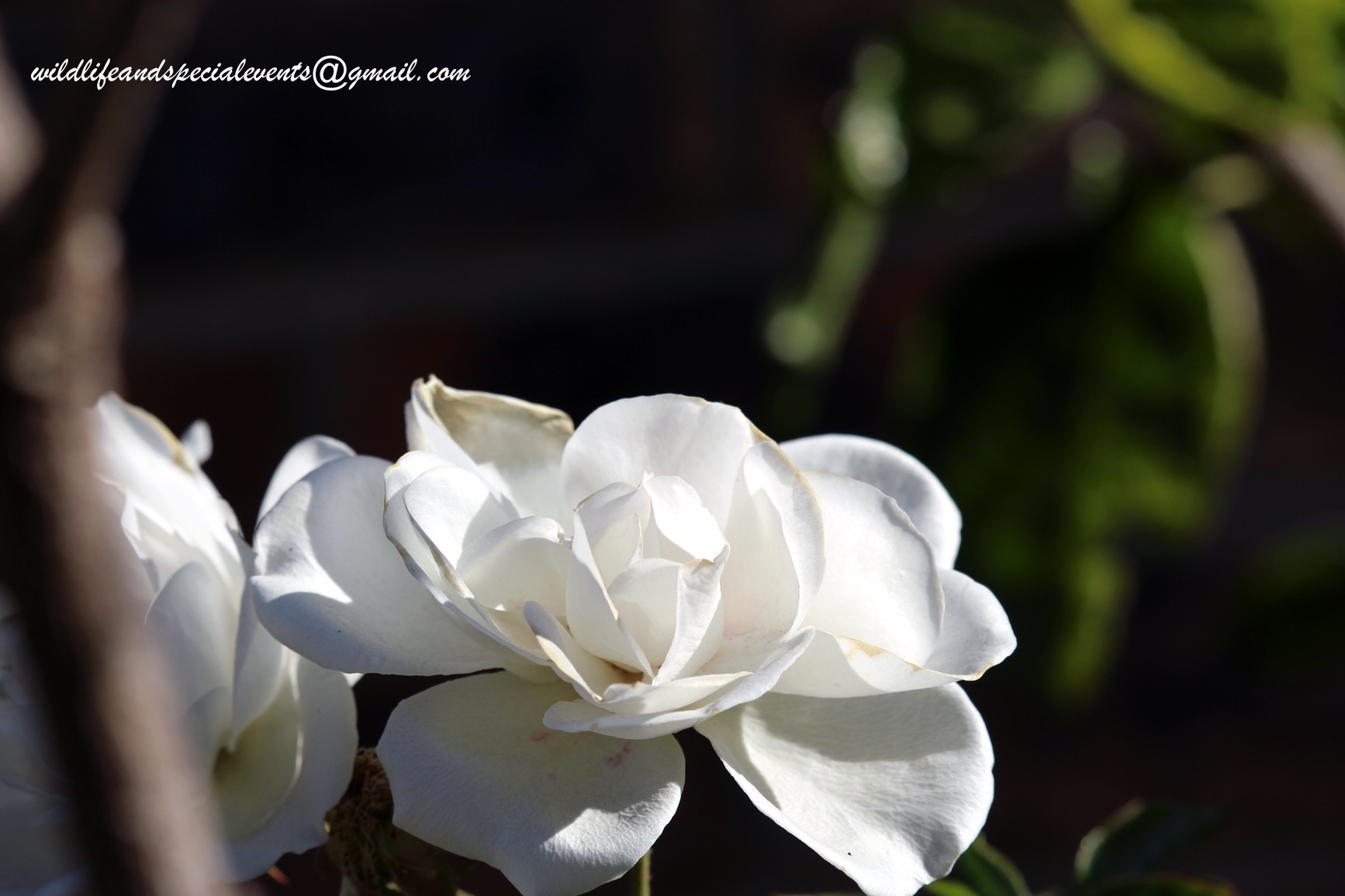 White Rose by oosie