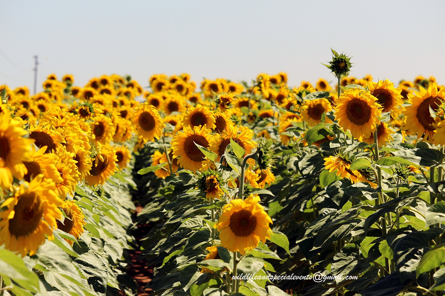 Sunflower Field by oosie