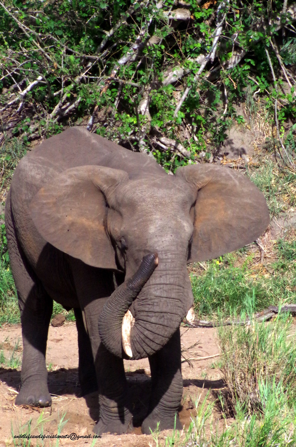 One tusker by oosie