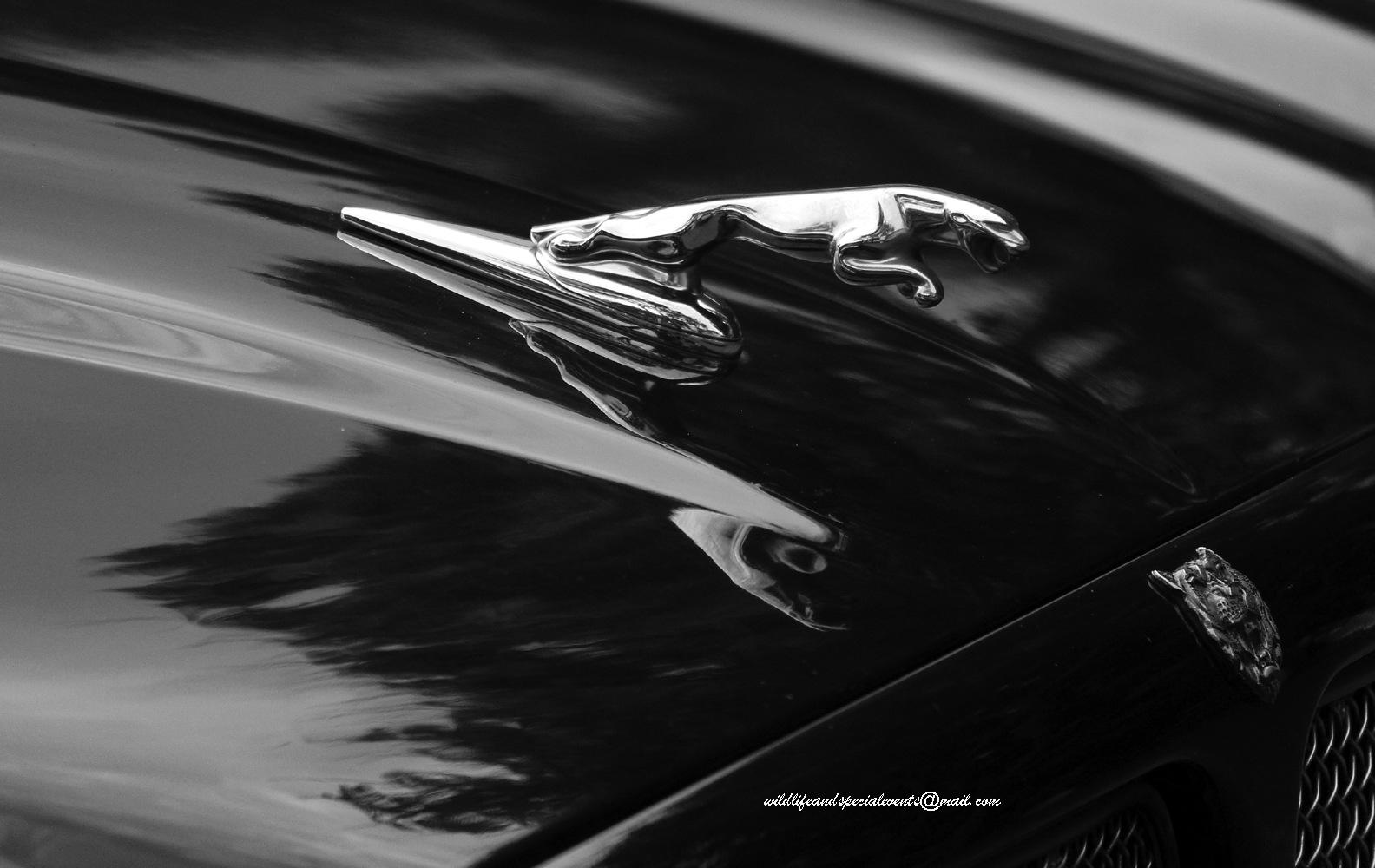 Jaguar by oosie