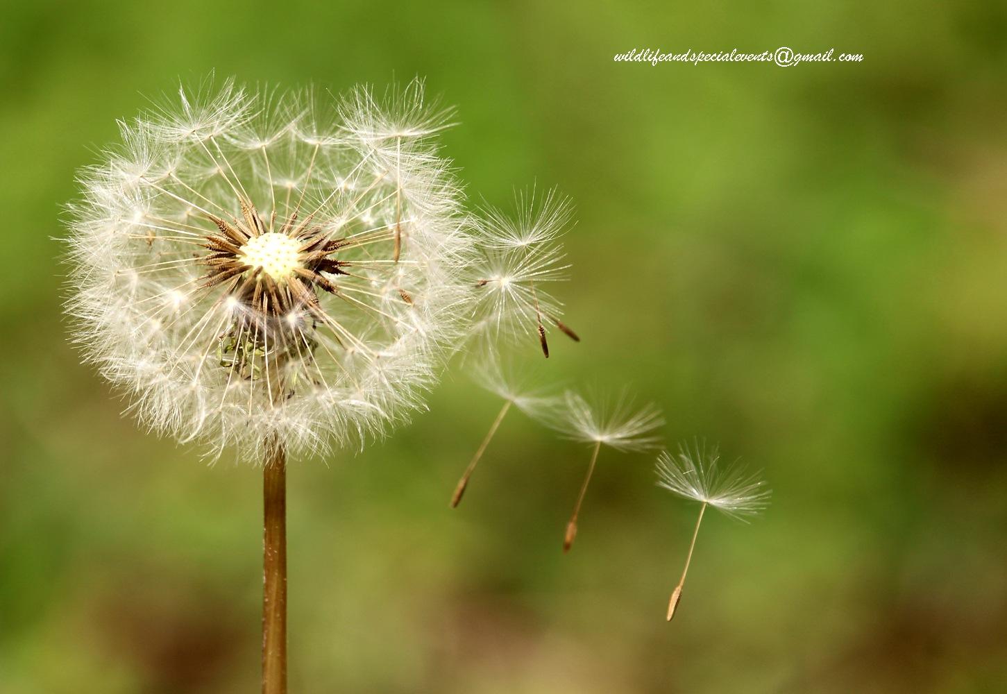 Dandelion in the wind by oosie