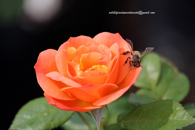 Rose by oosie