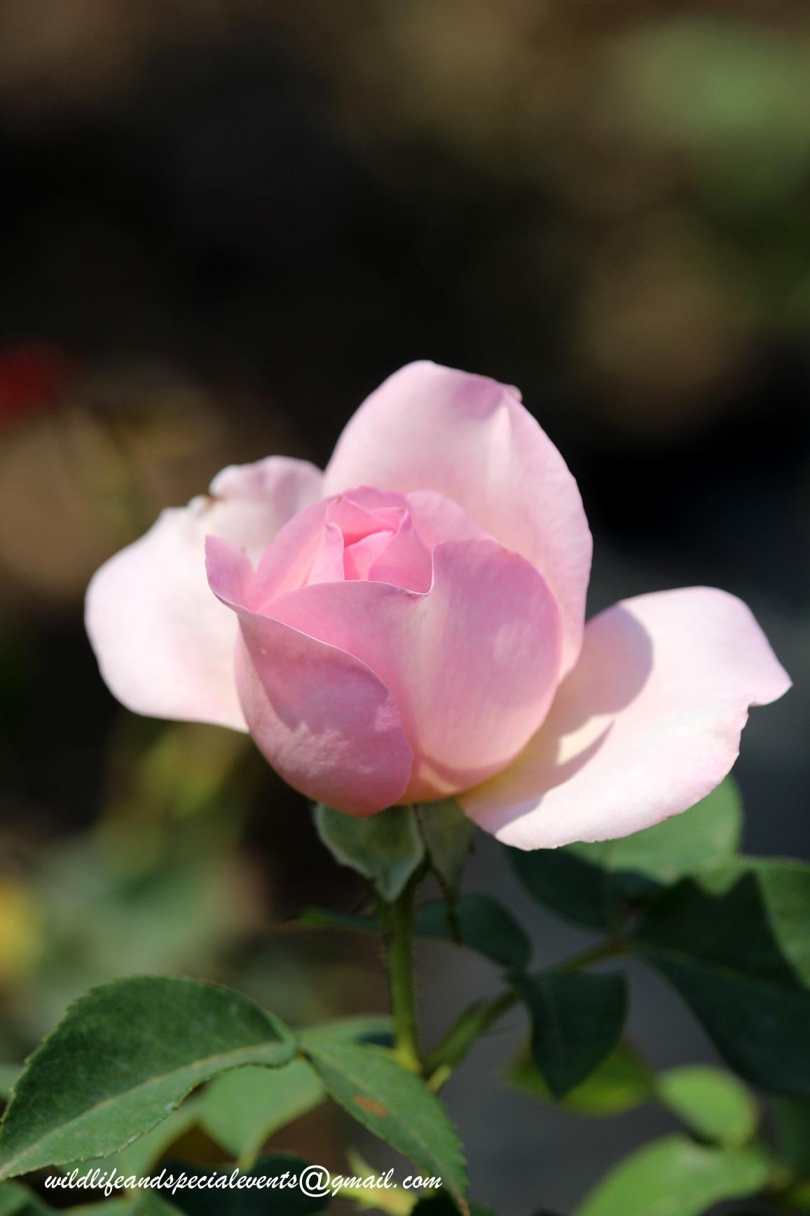 Rose garden by oosie