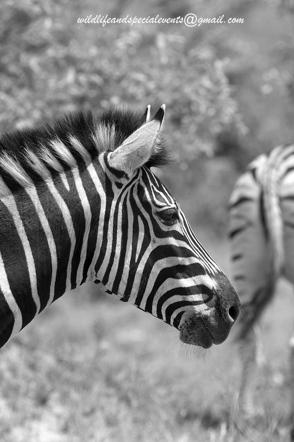 B&W Zebra by oosie