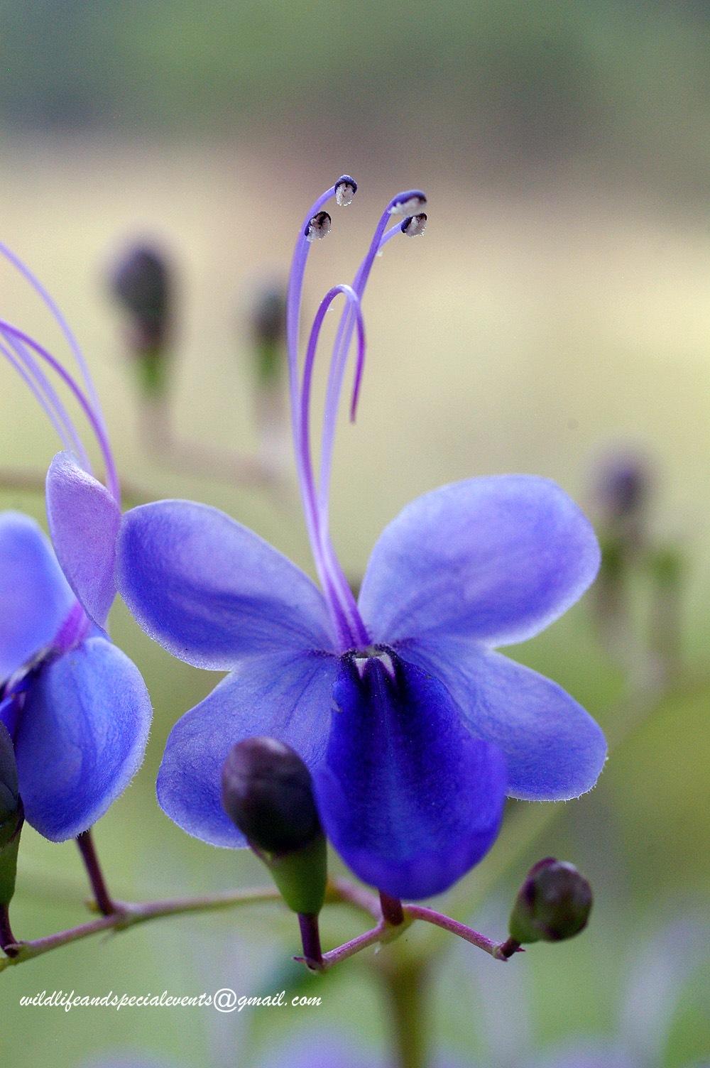 Blue Flower by oosie