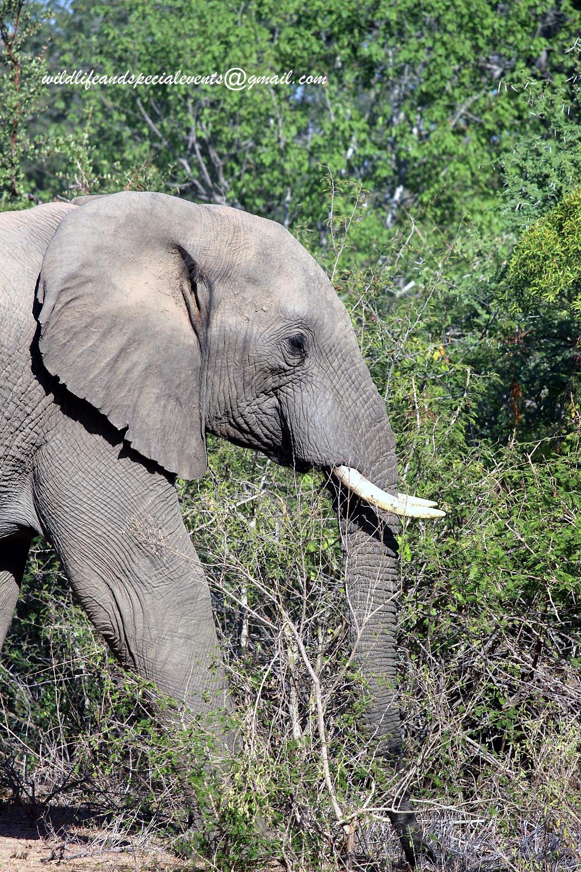 Elephant in Africa by oosie