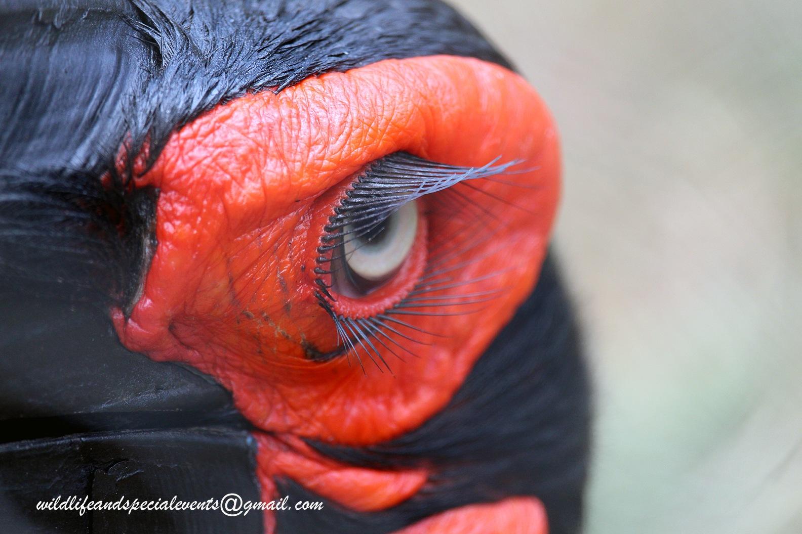 The eye of a hornbill by oosie