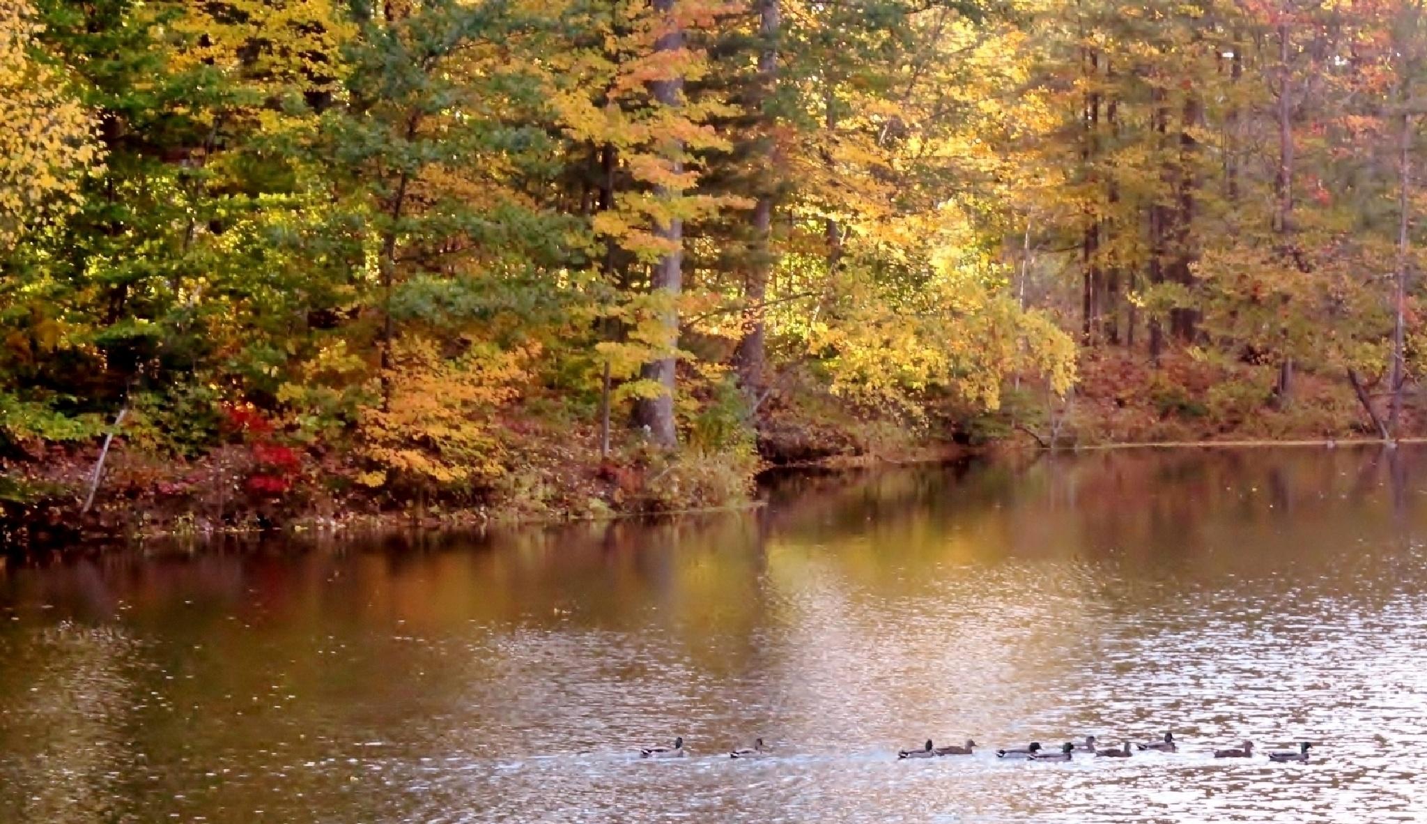 Ducks Enjoying the Pond~ by debbie.lamontesnyder