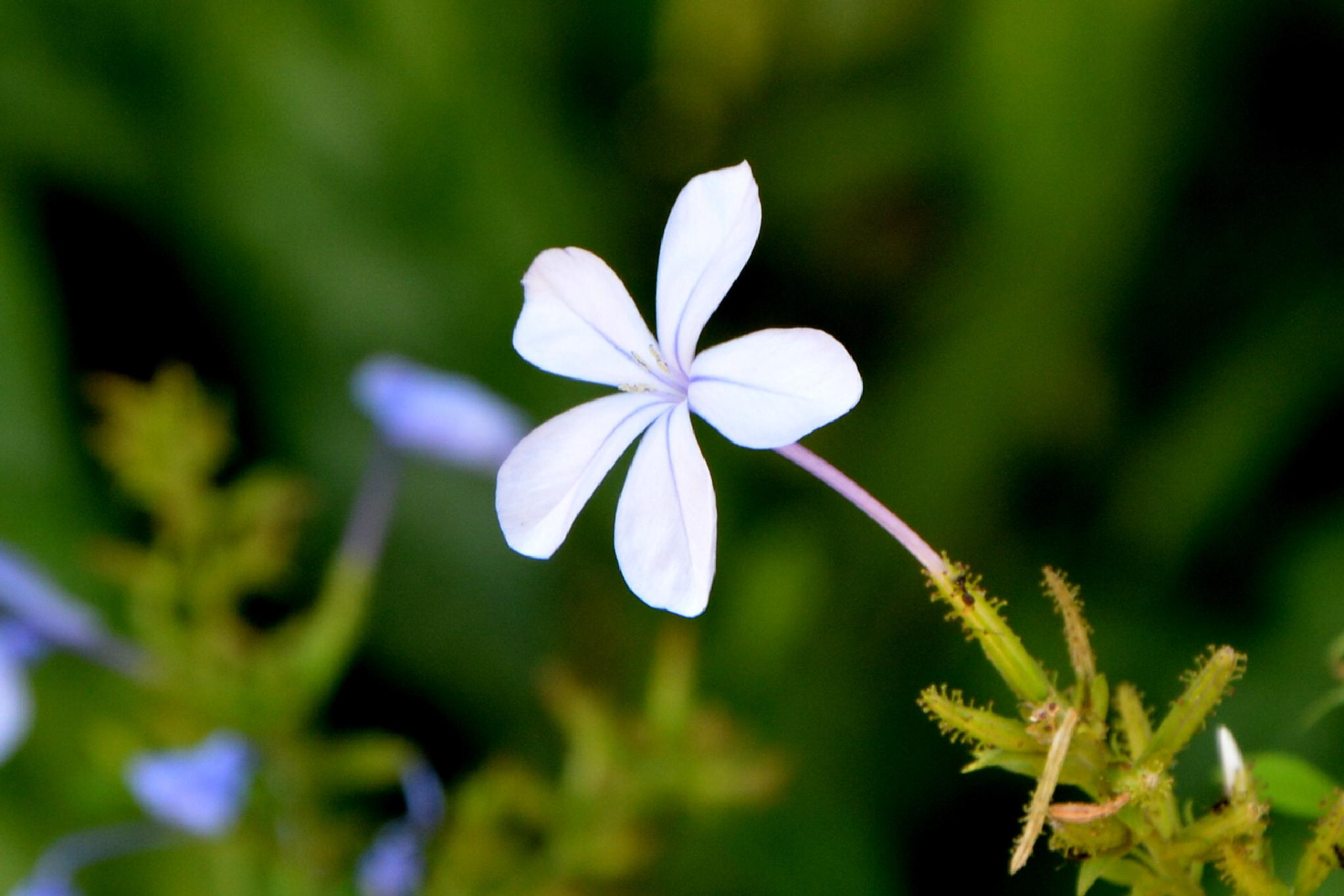 Small Flower by Nagendra Bhat