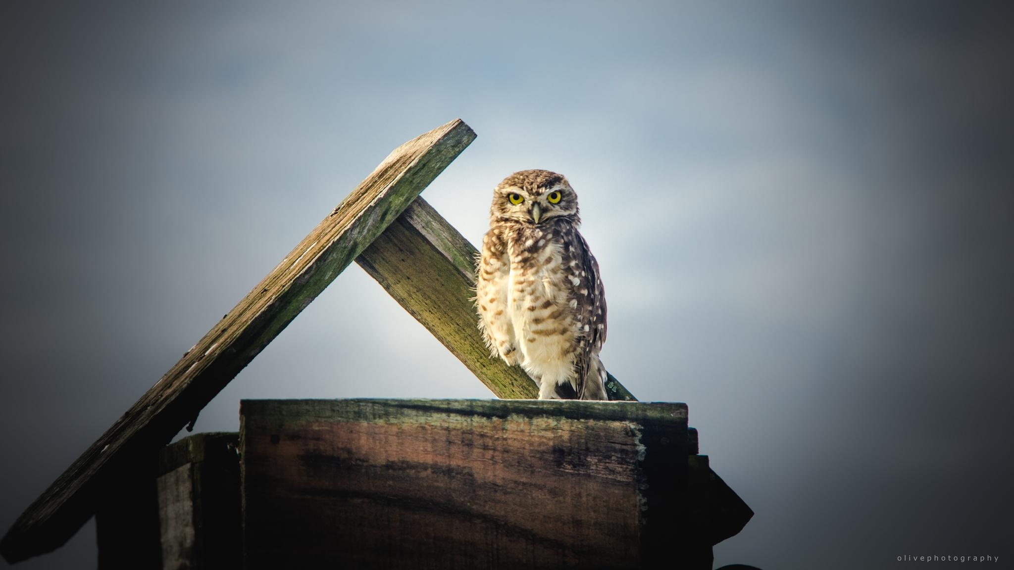 Photo in Animal #owl #eyes #look #love #animal #bird #nature #creation #life #sky #clouds