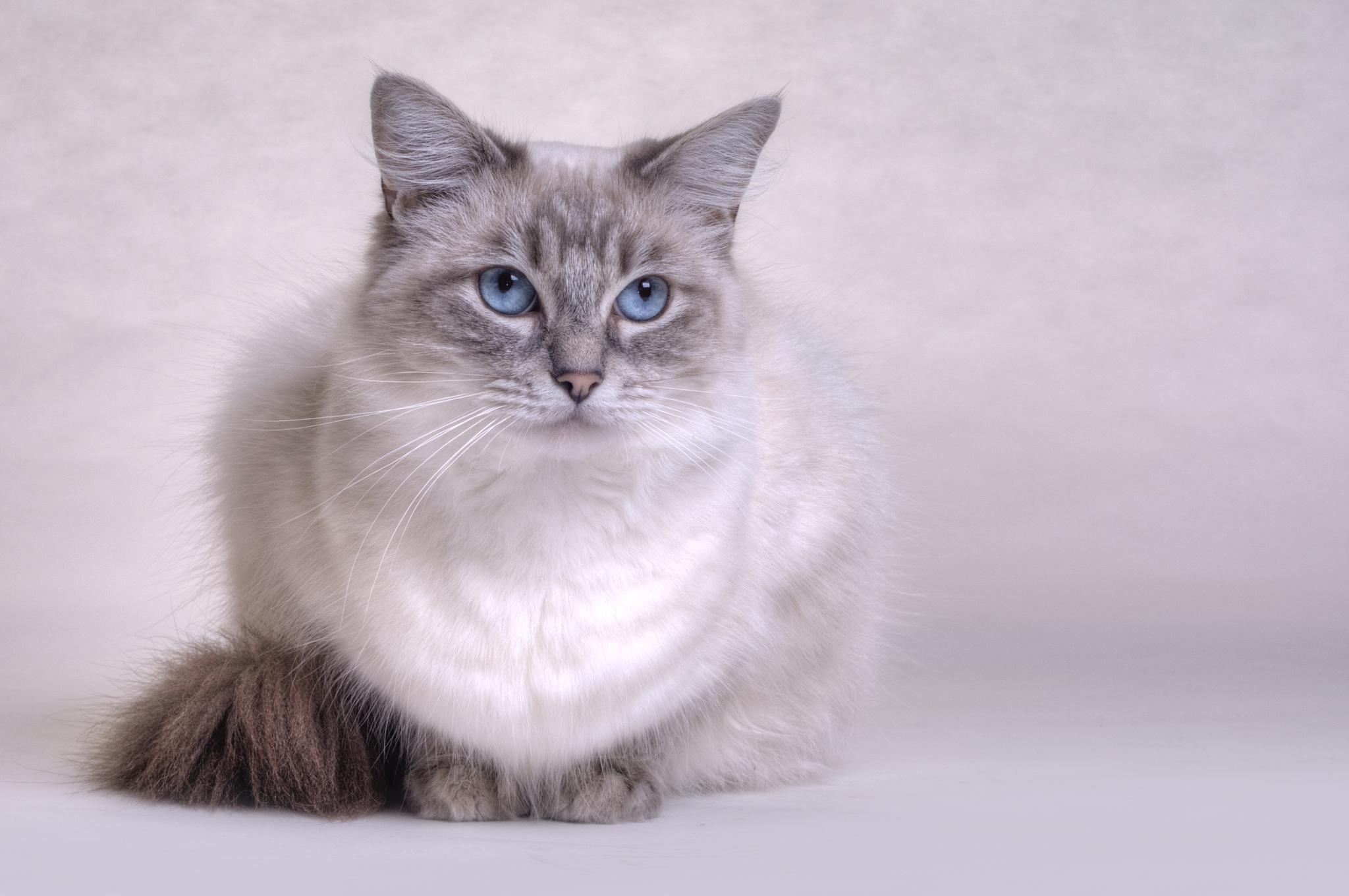 Ragdoll kitty by Cath Hardwick