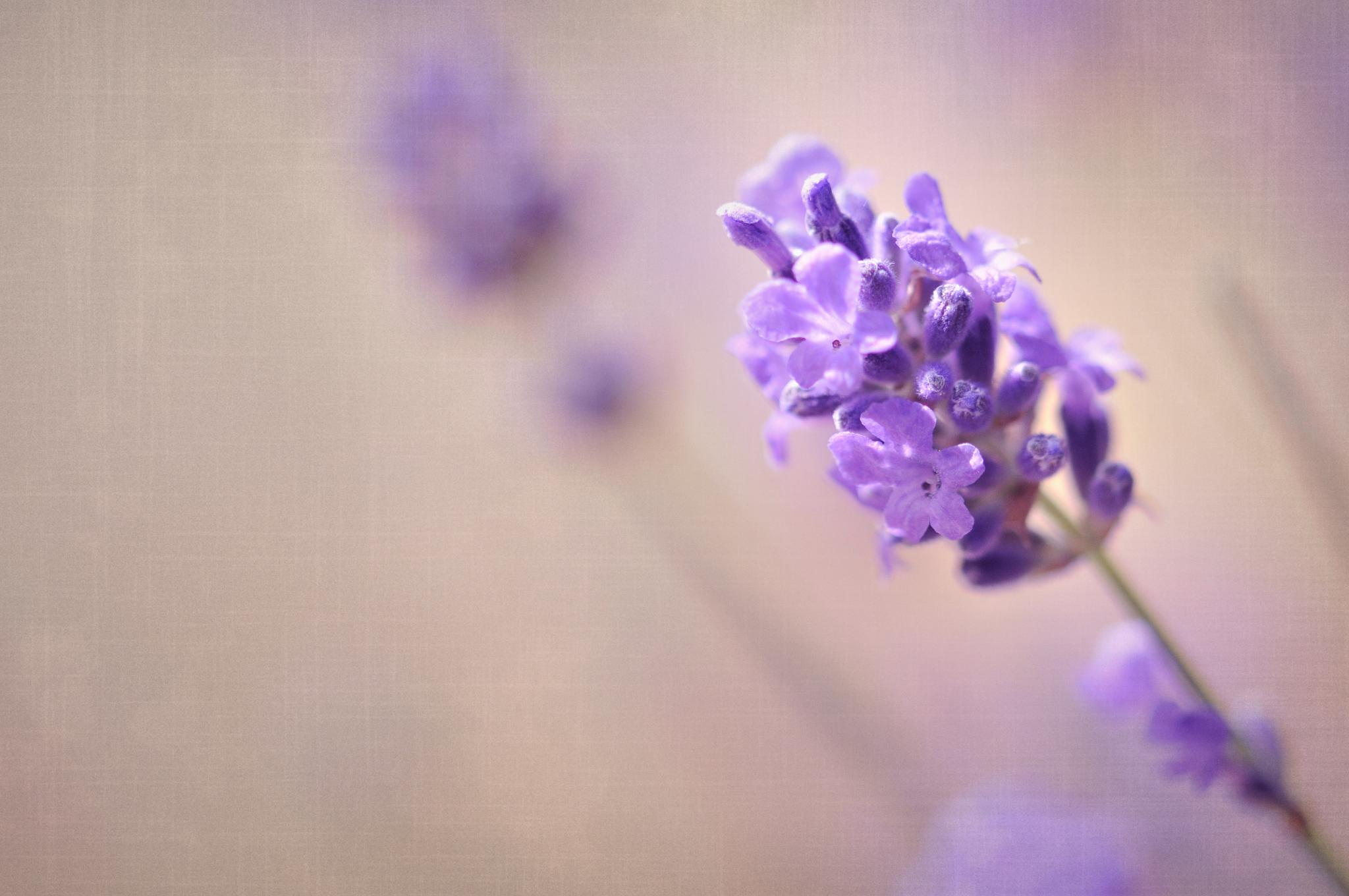 Lavender by Cath Hardwick