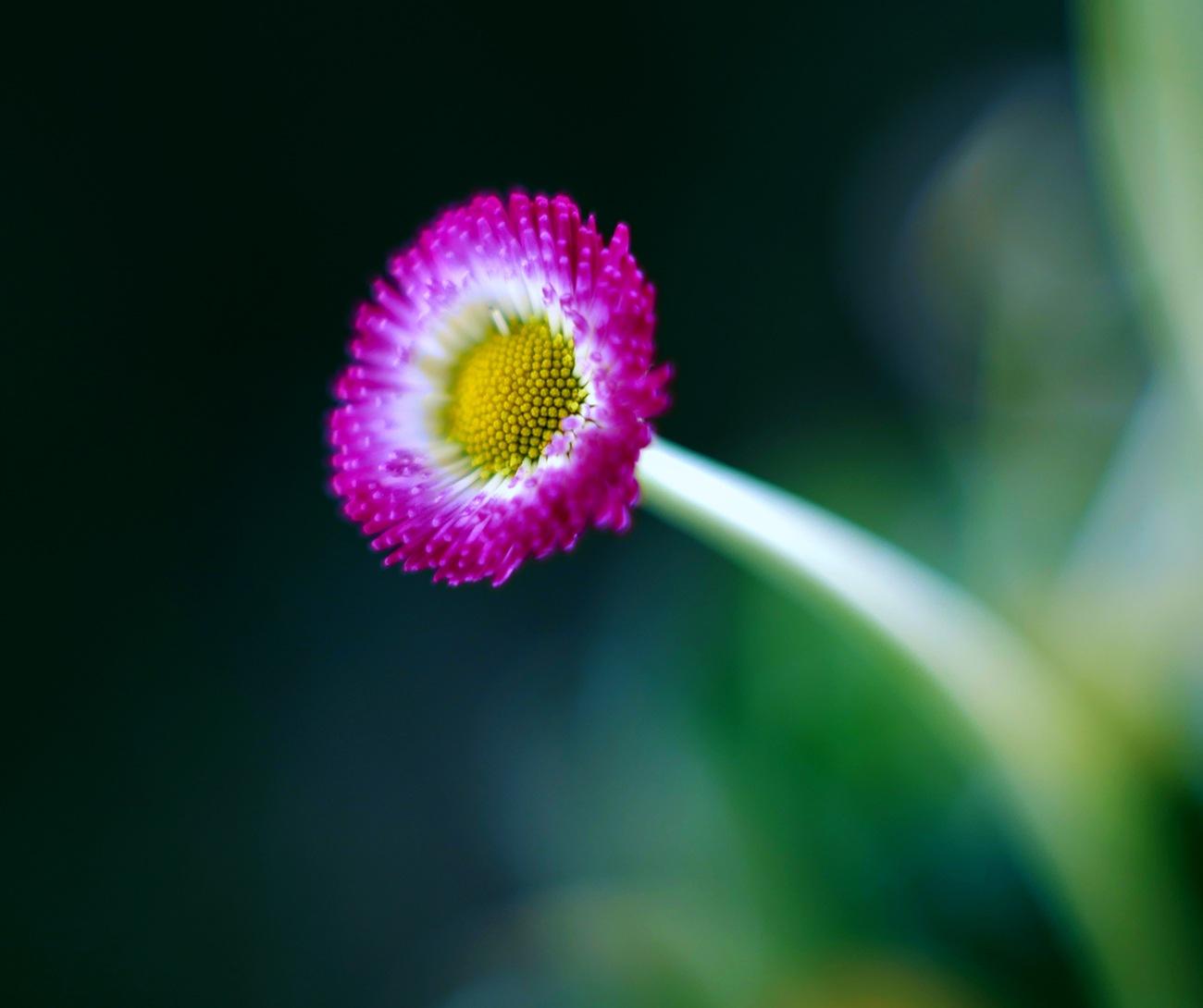 daisy  by Zinovi Seniak