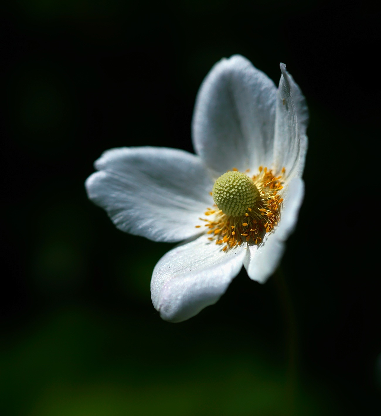 anemone  by Zinovi Seniak