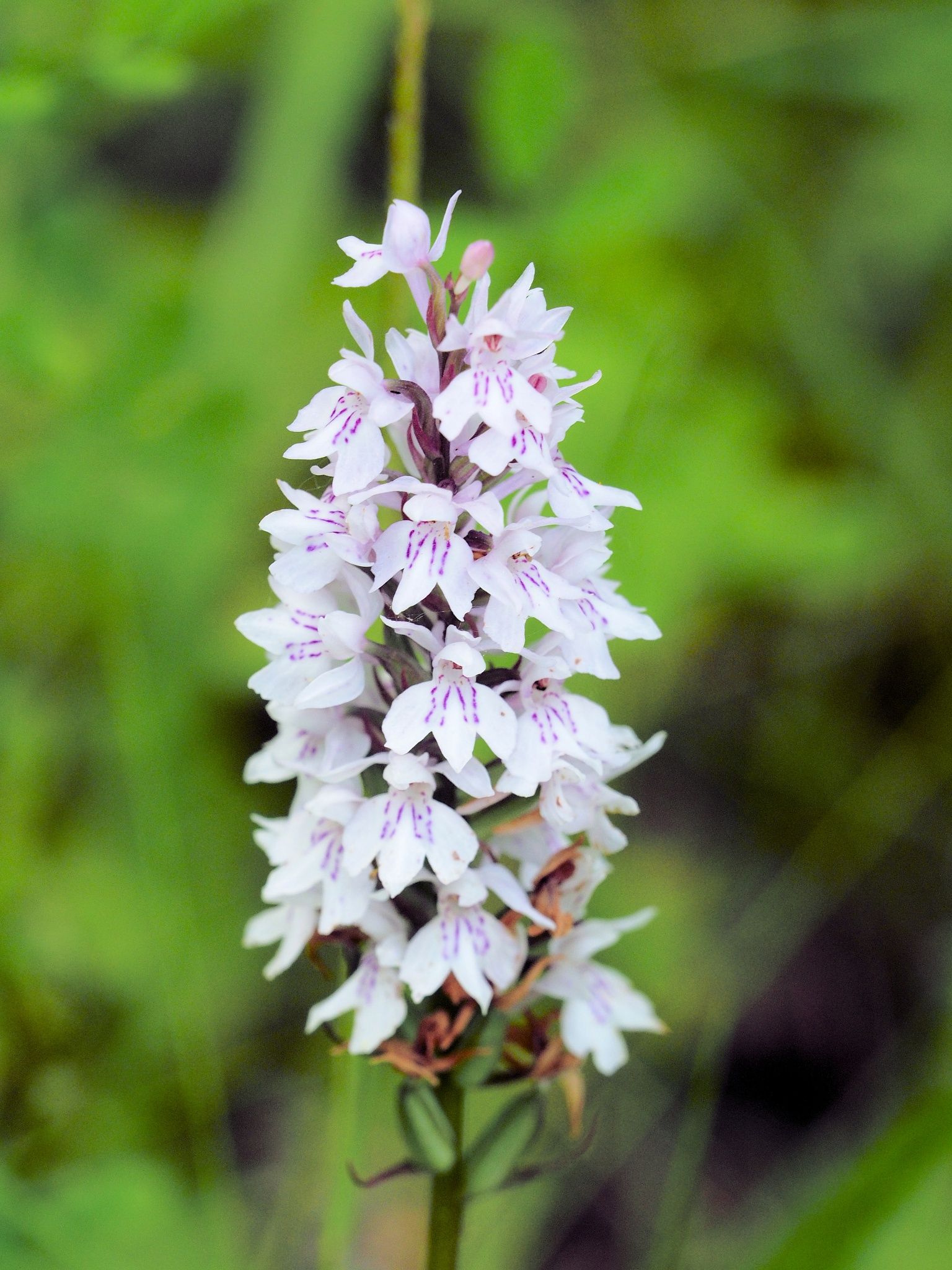 A wild Orchid by martin.b.hollands