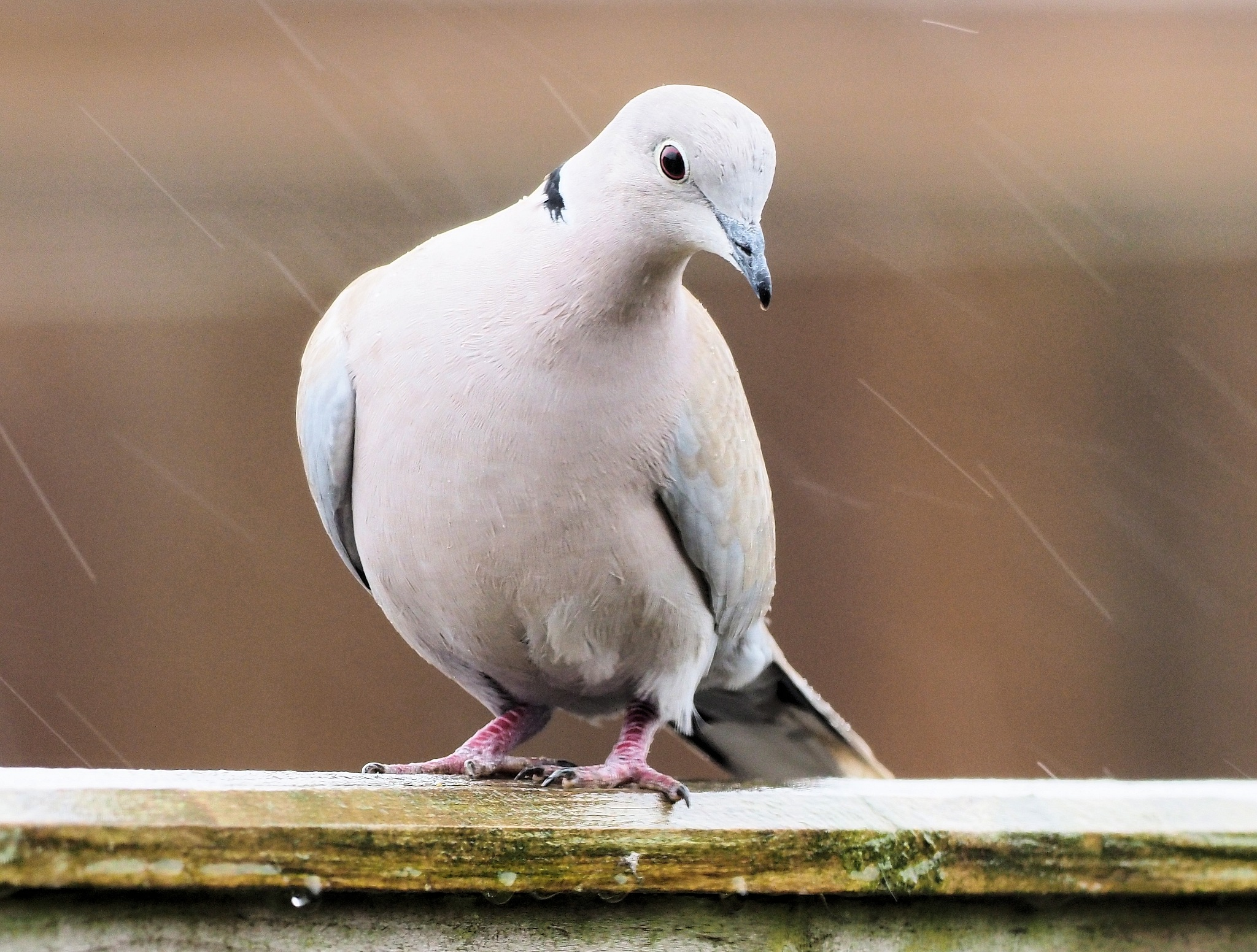 Collared Dove in the Rain by martin.b.hollands