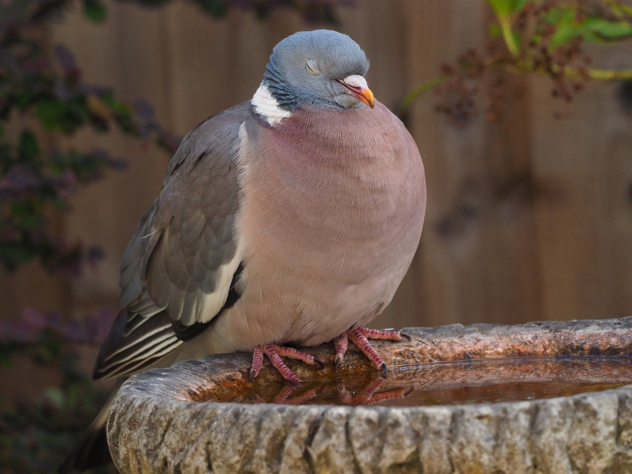 Contented Pigeon by martin.b.hollands