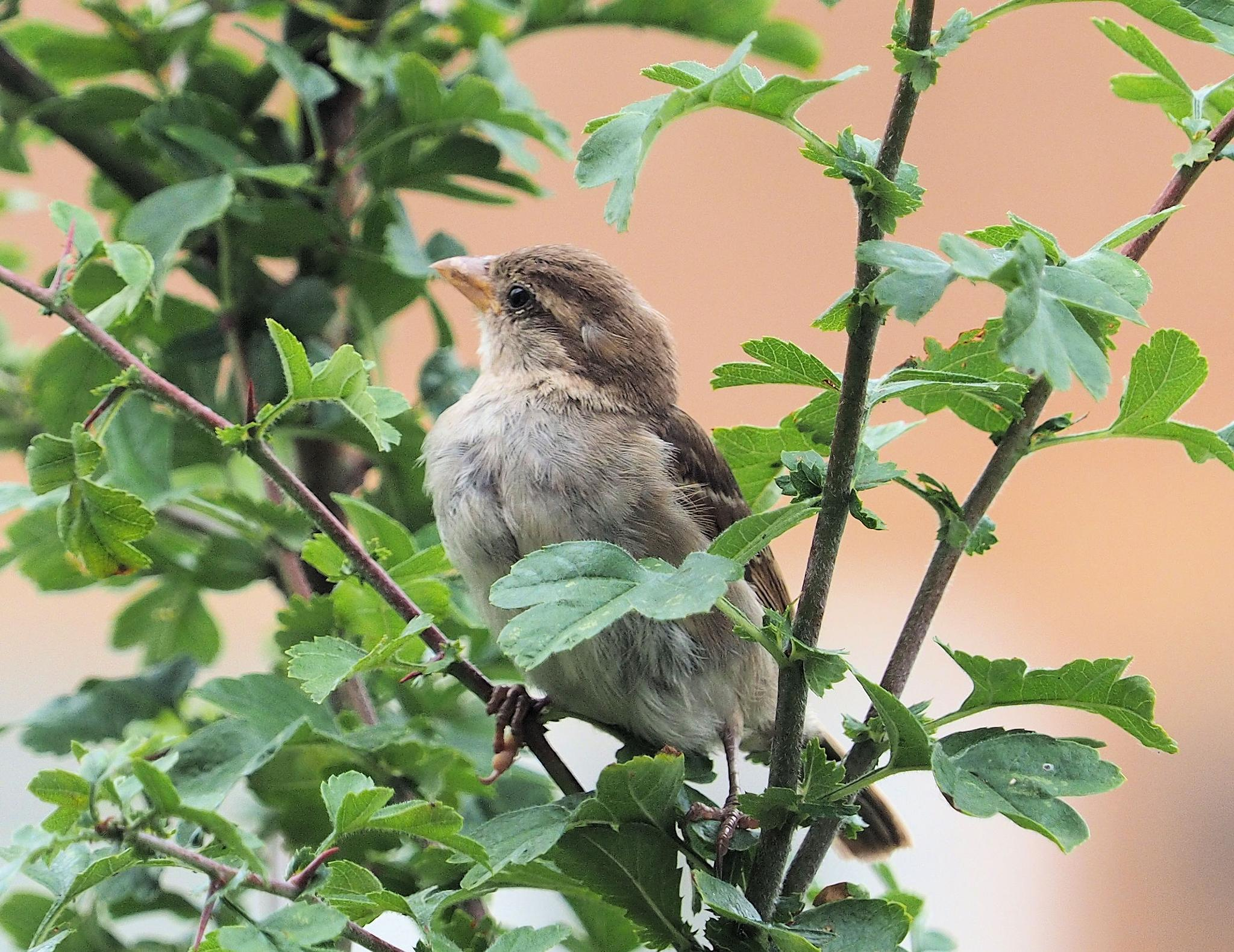 Female Sparrow in the bushes by martin.b.hollands