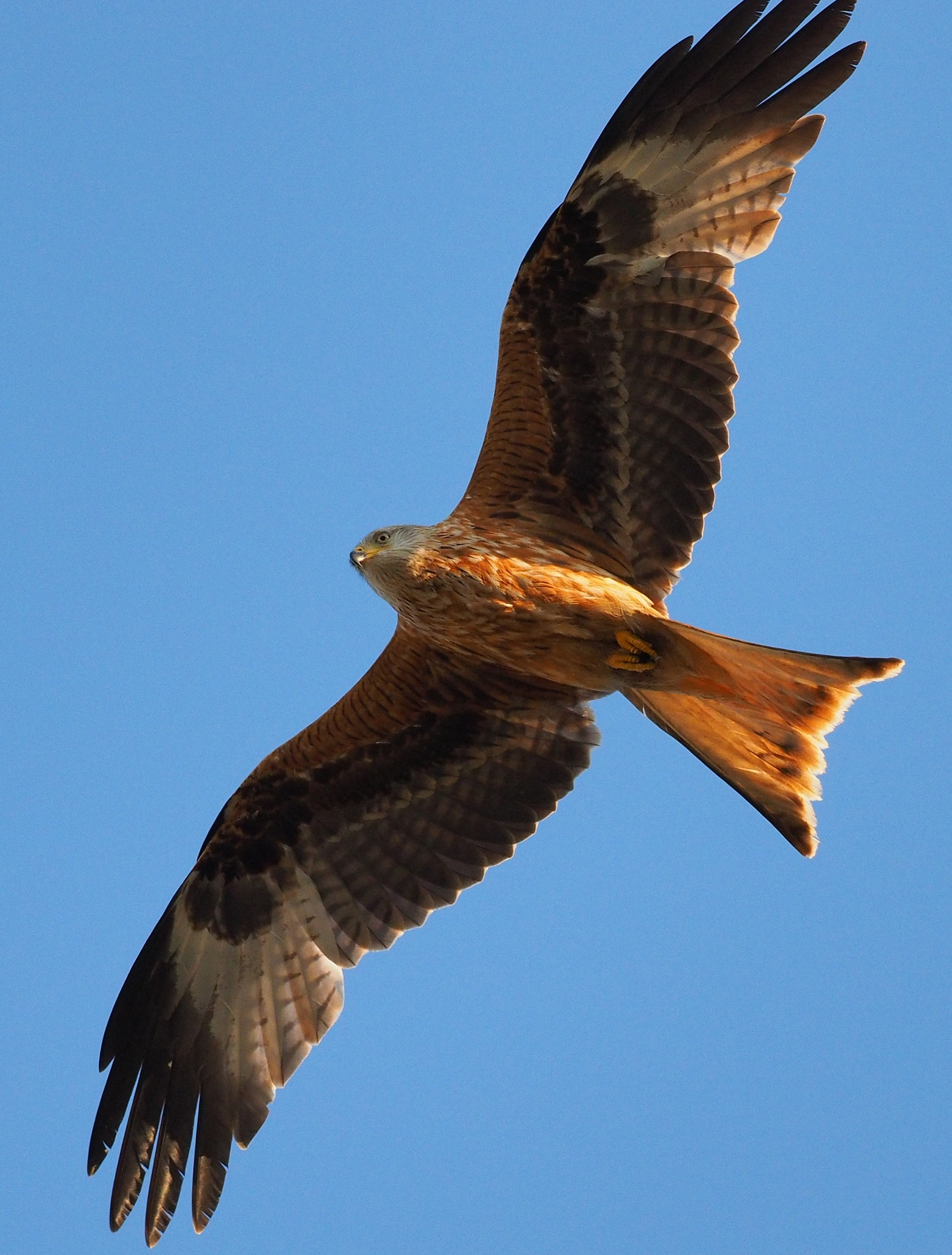 Red Kite gliding overhead in the evening sunshine by martin.b.hollands