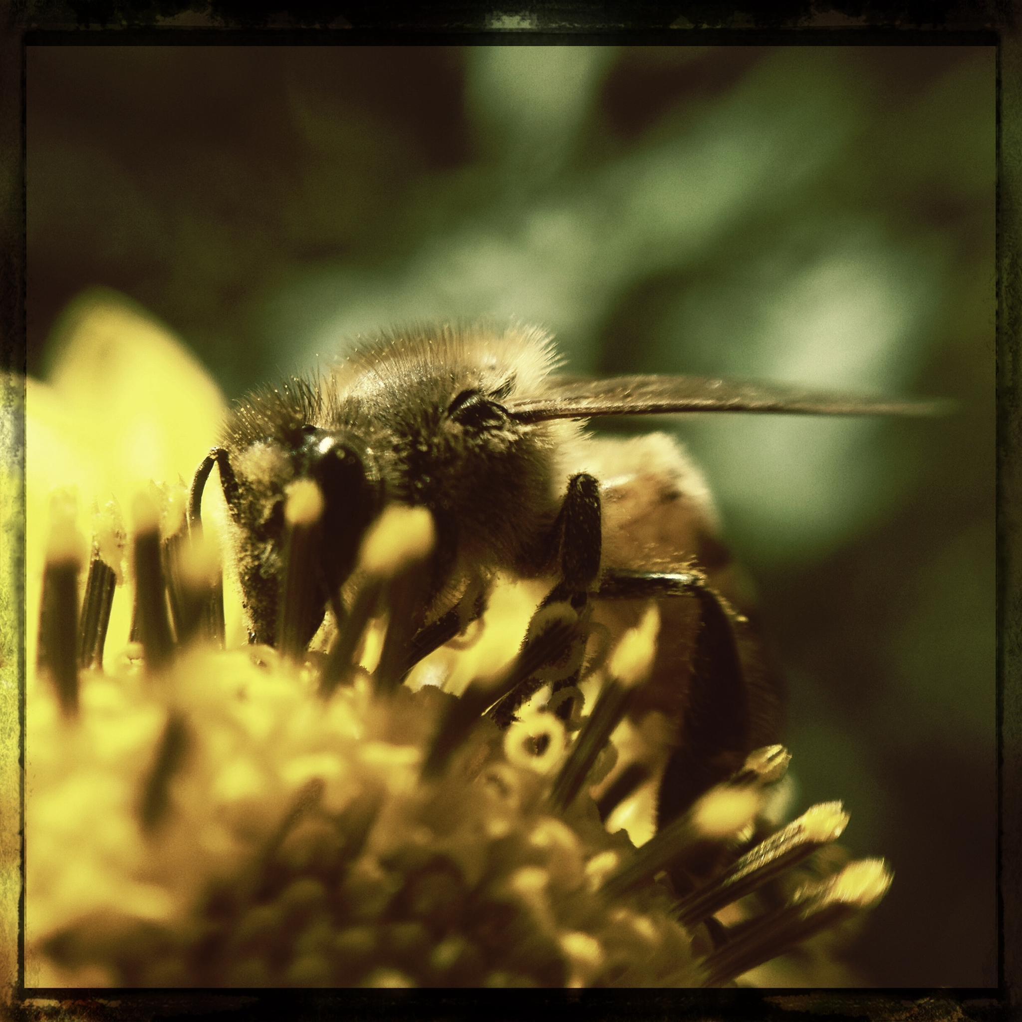 Hungrig Biene by BrianHusch