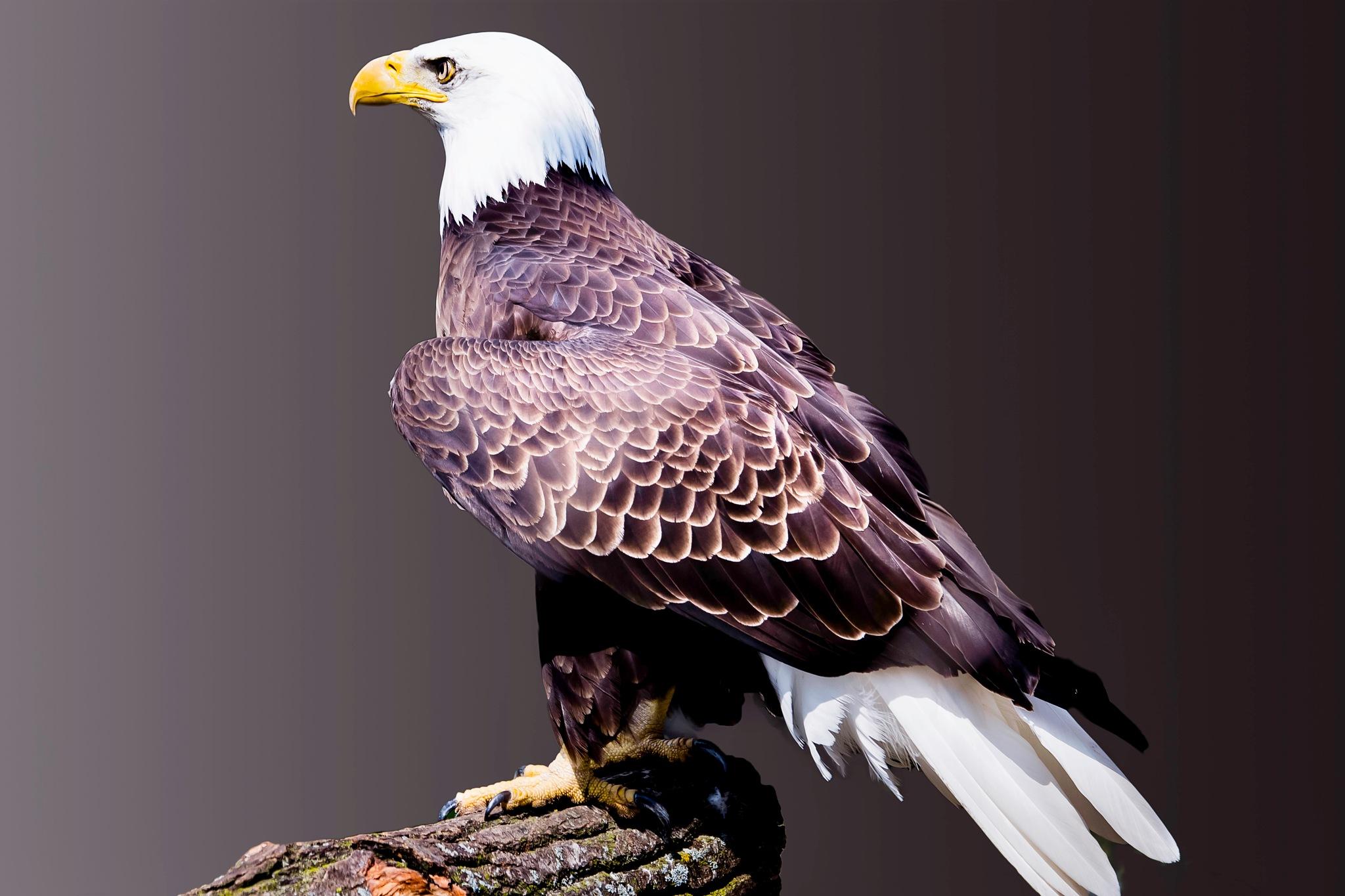 Eagle Guardian by AmanPhotos