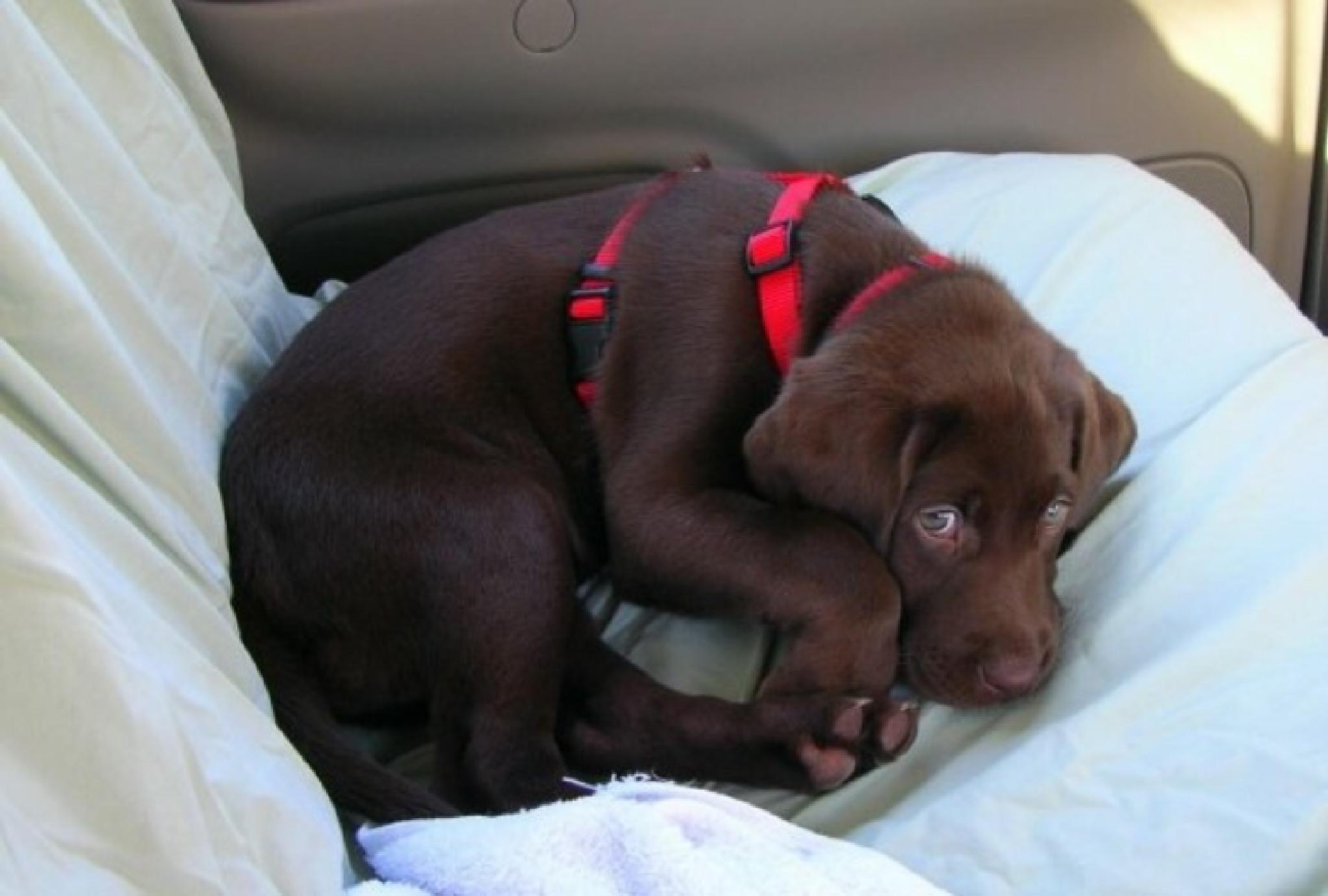 Photo in Animal #chocolate lab #dog #puppy #animals #cute