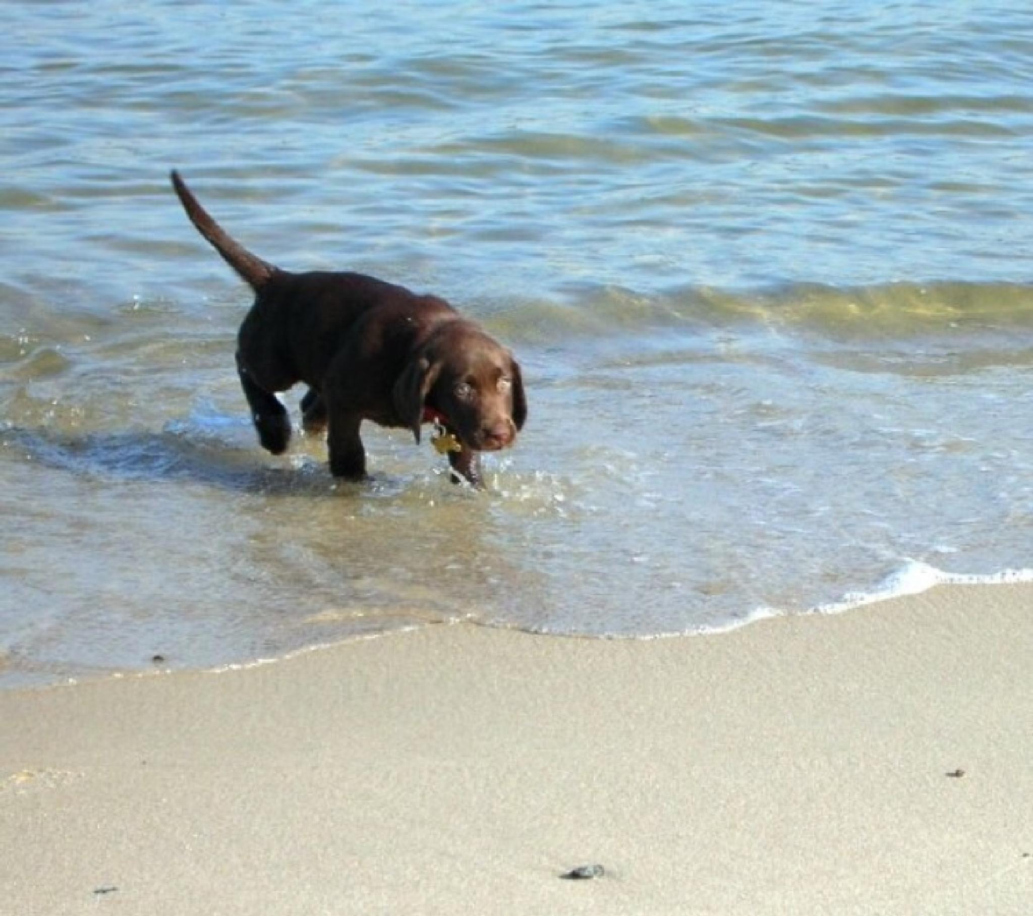 Photo in Animal #chocolate lab #puppy #dog #animal #ocean #beach #seashore #cute