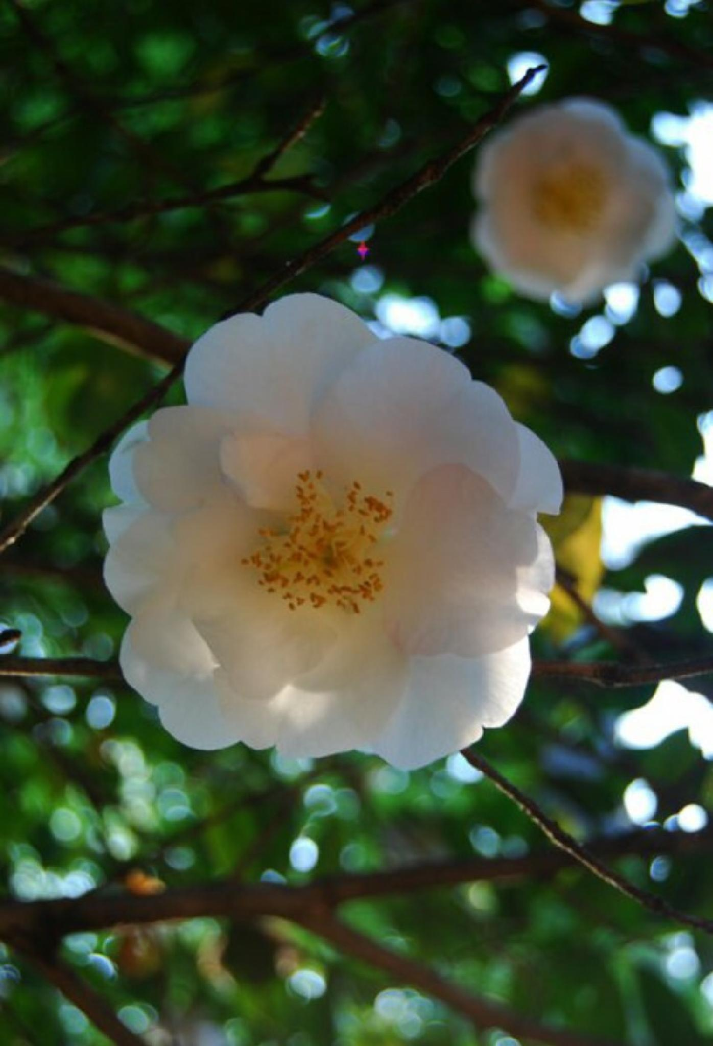 White Blossoms by Jennifer Doty