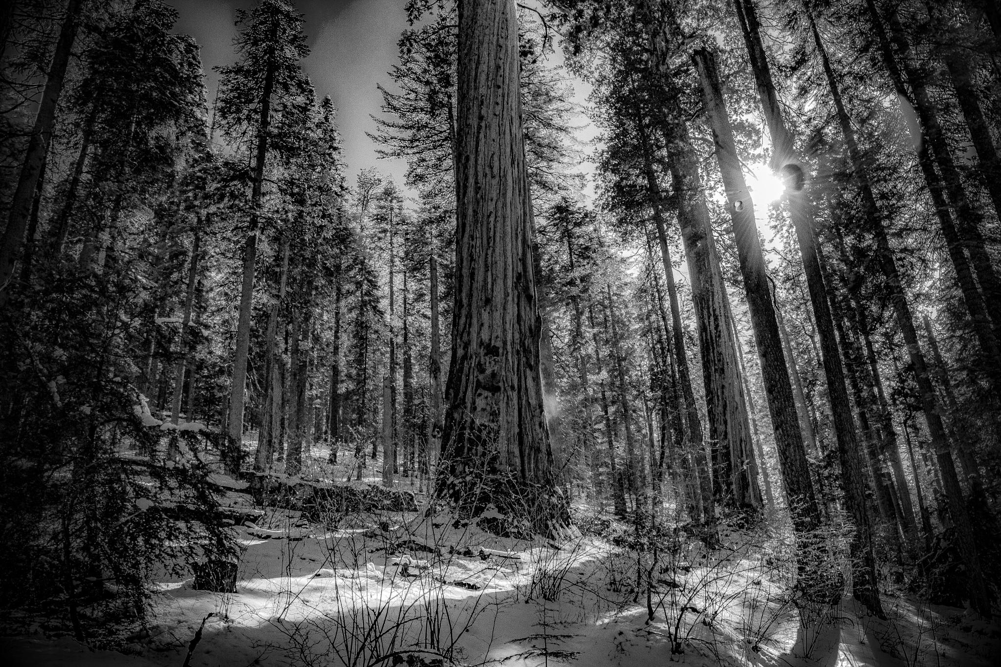 B&W sequoia by Moonzo