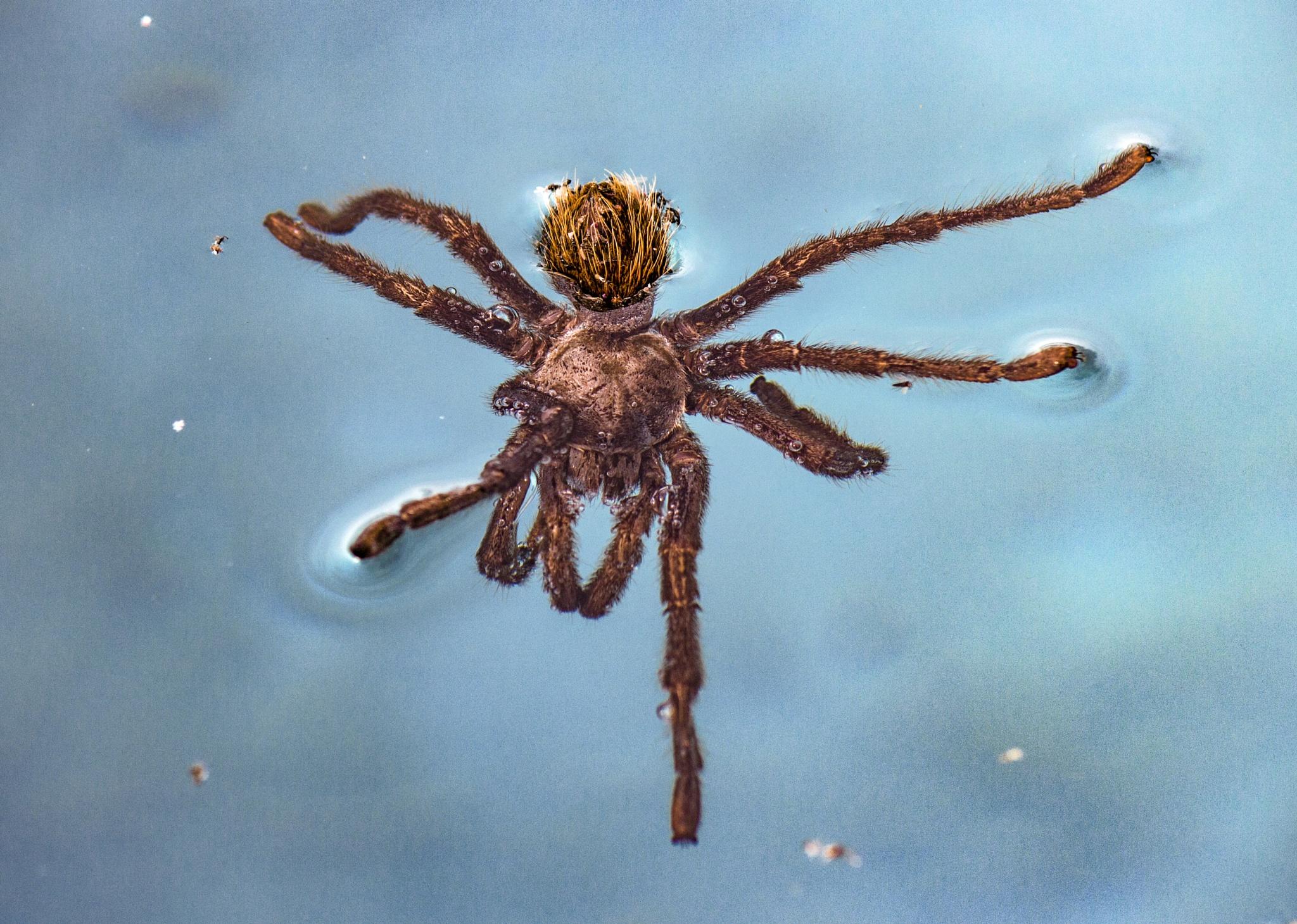tarantula swimming by Moonzo