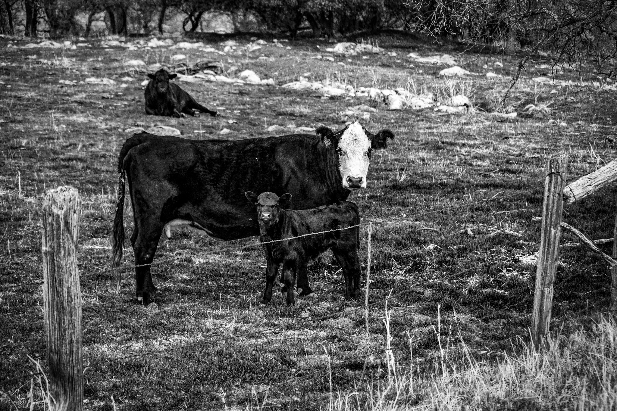 Cows not in the MOOd to say cheese by Moonzo