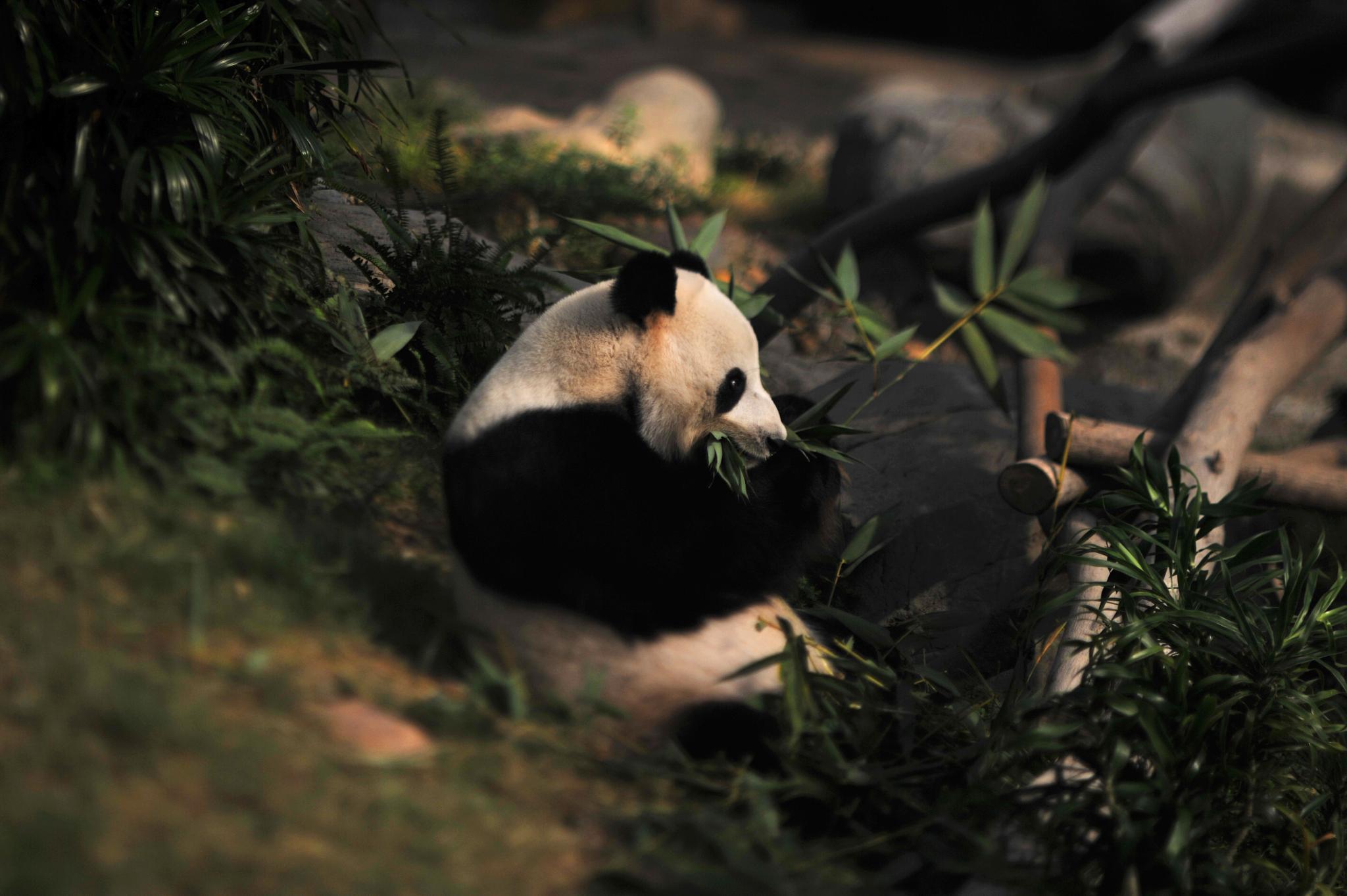 ...the Panda at the Ocean Park, Hongkong... by cyccanhk