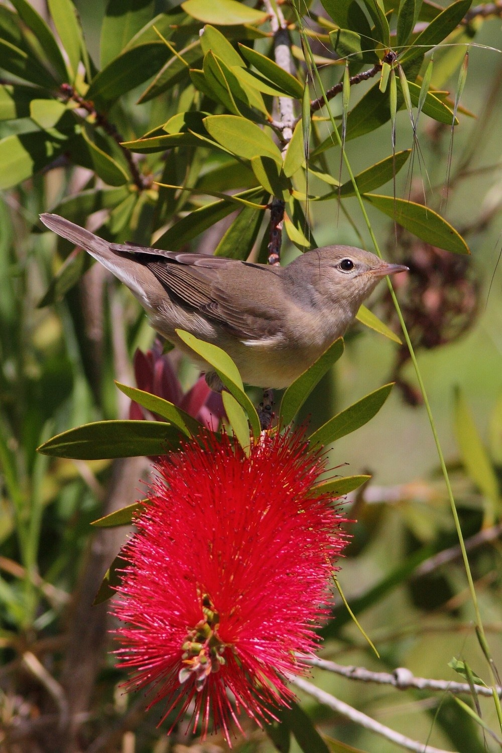 Garden Warbler by cristianocrolle