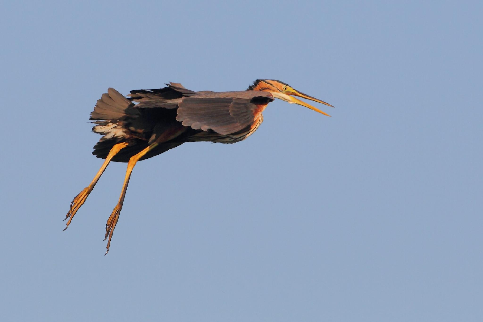 Purple Heron by cristianocrolle