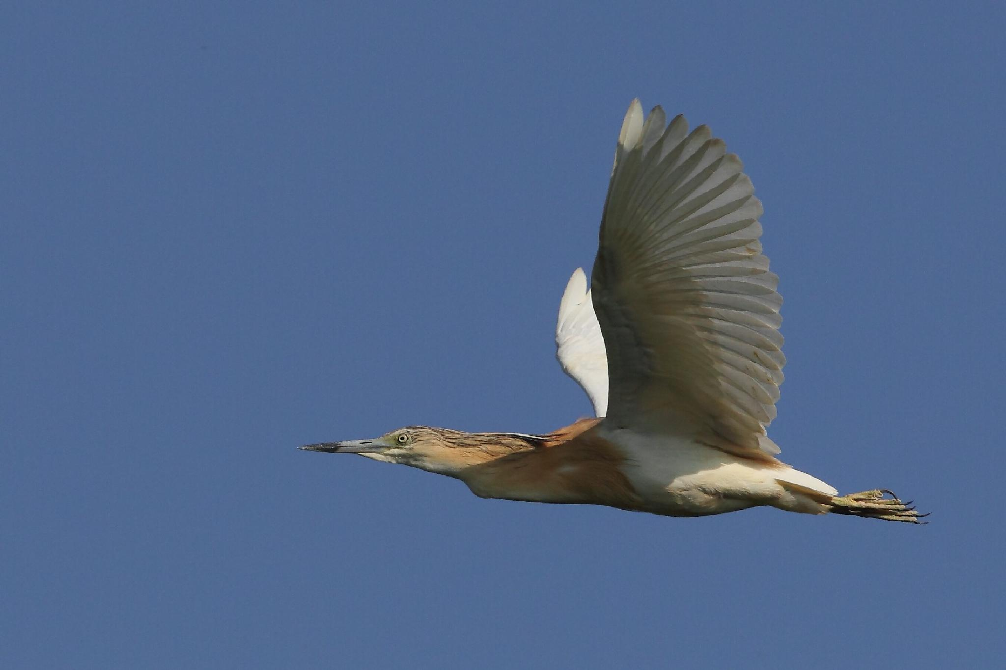 Squacco Heron by cristianocrolle