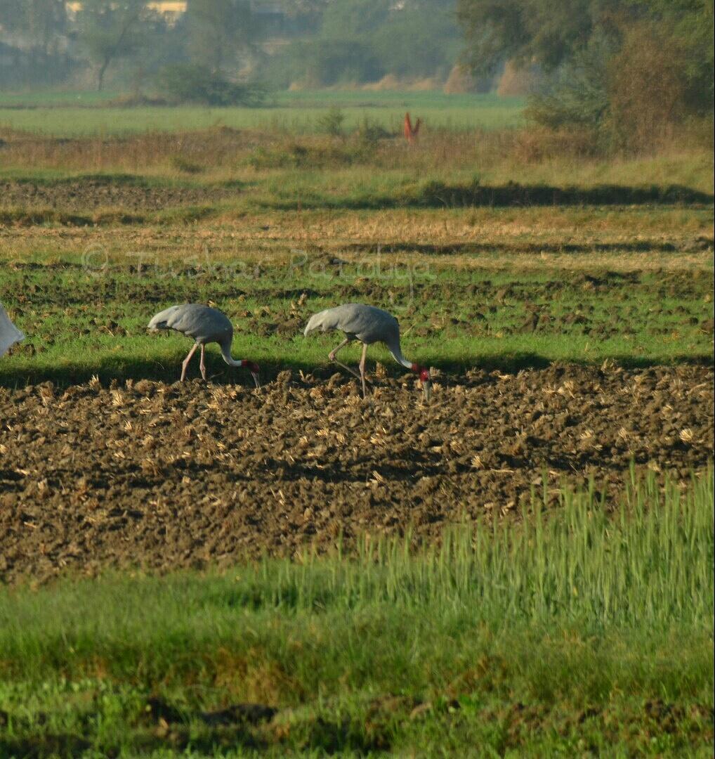 Saras bird by tushar.patoliya
