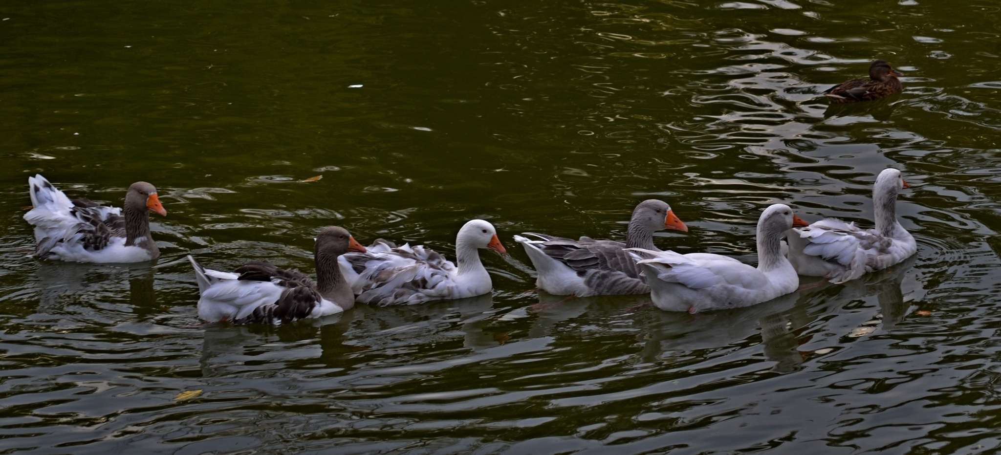 Geese by staicugheorghe3