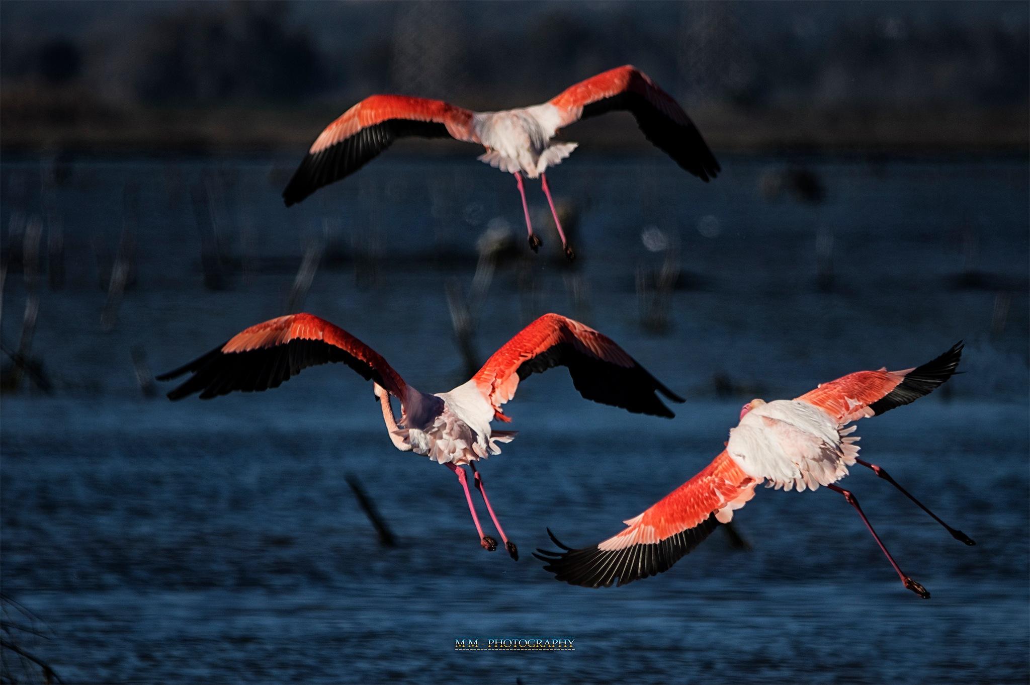 Photo in Animal #bird #flamingos #sardinia