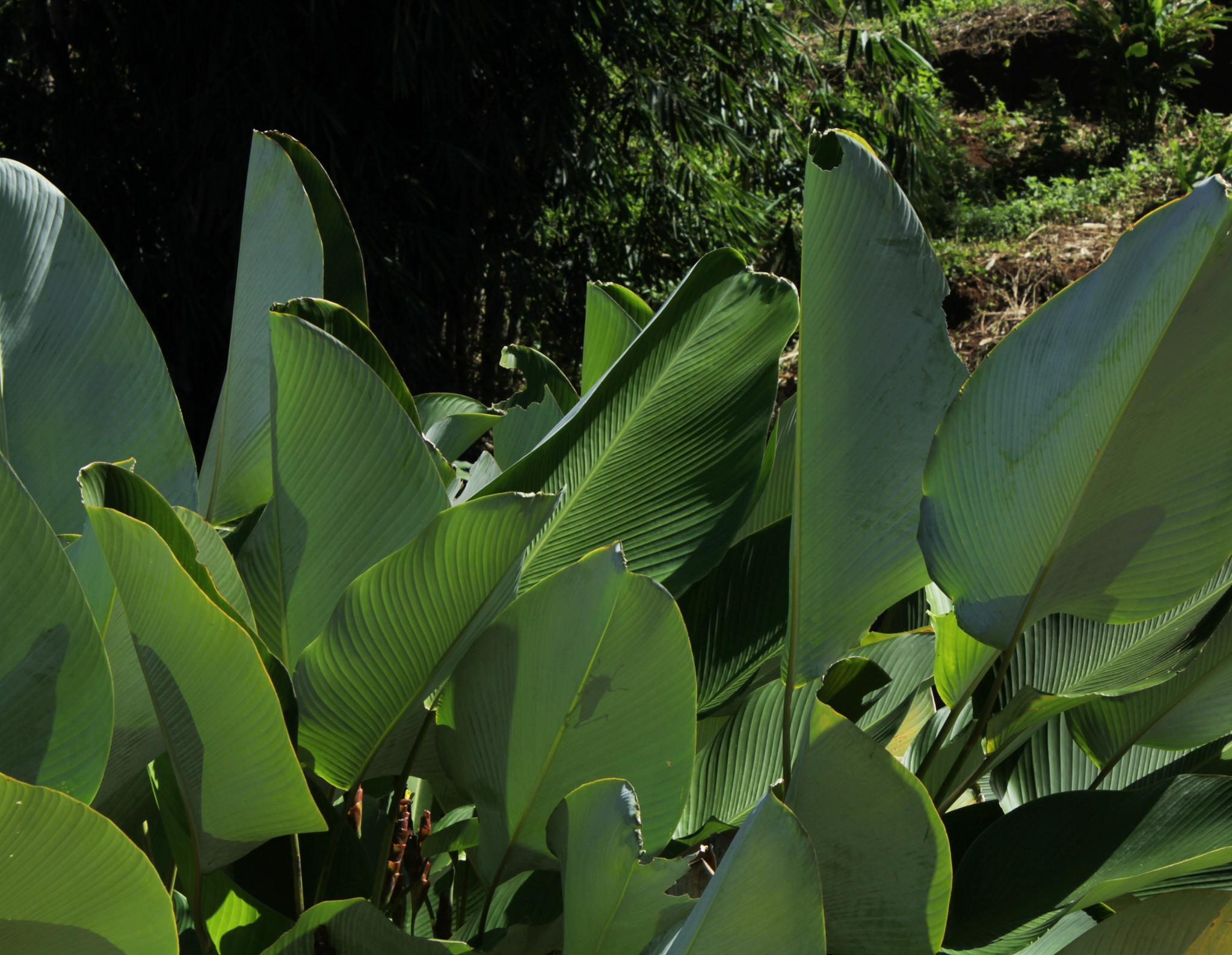 leafs by adam.sastradipoera