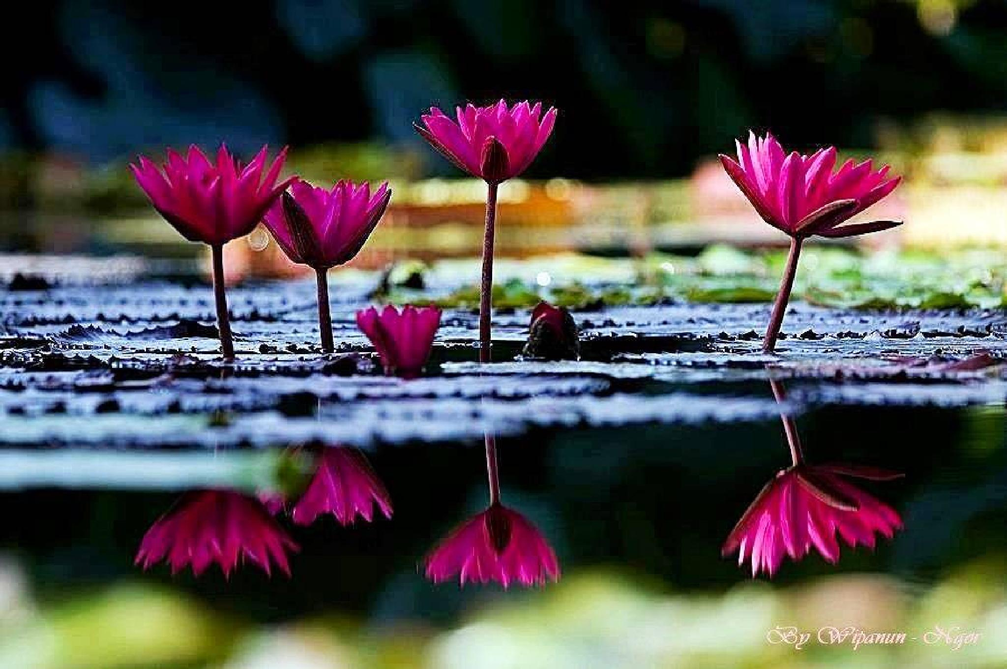 Water Lilly 3 by Wipanun Thepnual Sole