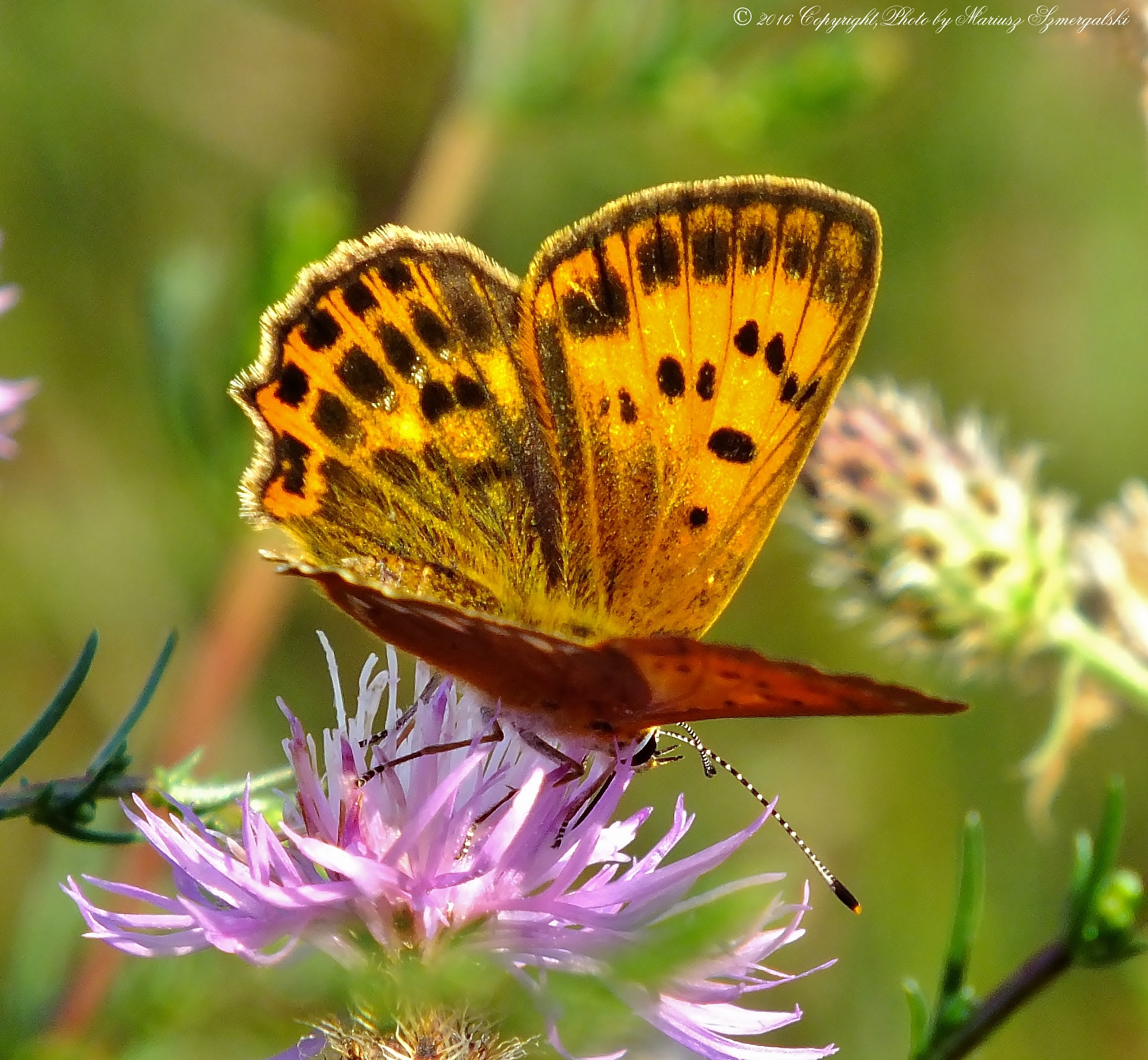 Scarce Copper (Lycaena virgaureae) by jon.rambo.37819