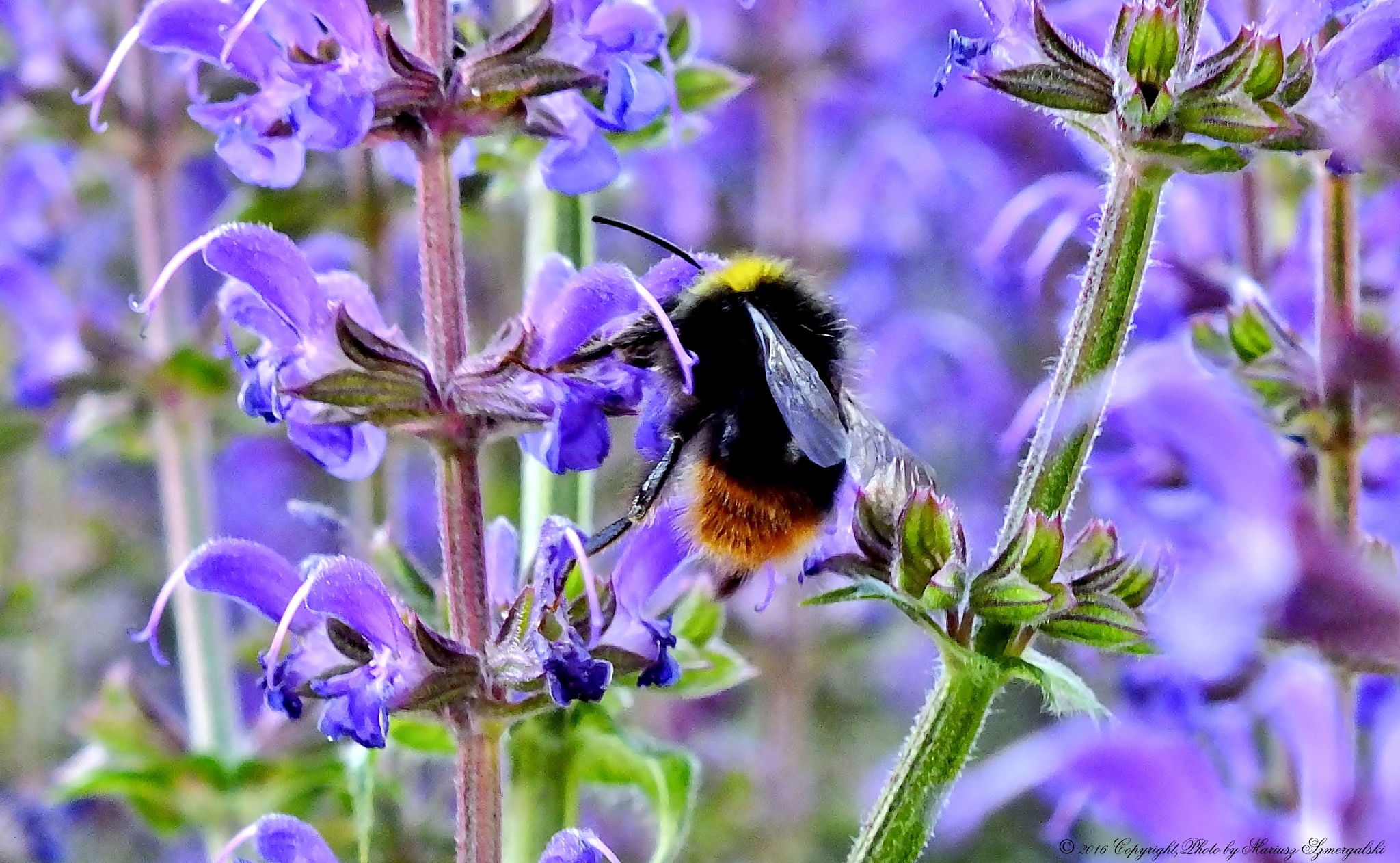 Photo in Macro #bumblebee #insect #plants #flowers