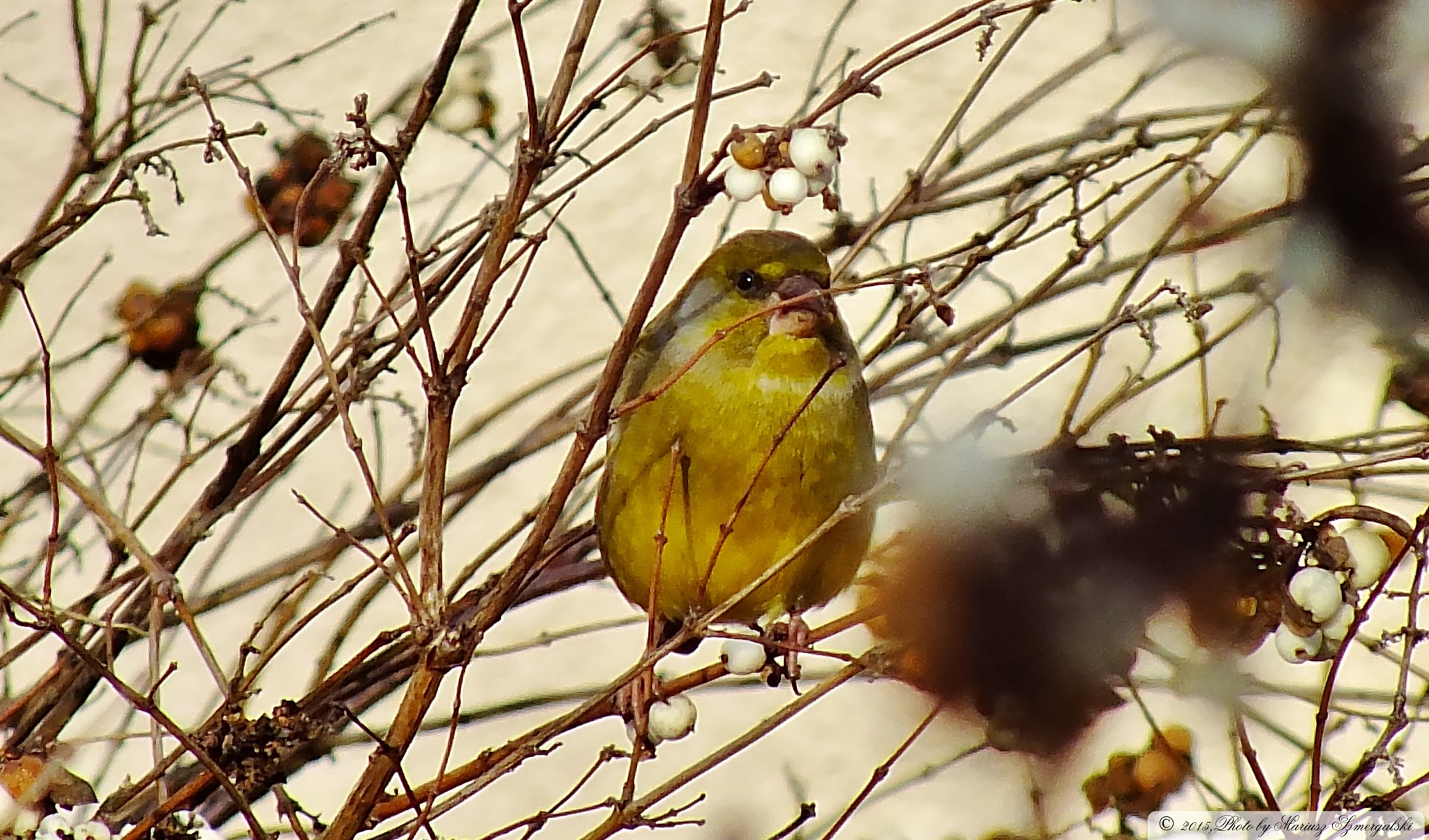Greenfinch (Chloris chloris) by jon.rambo.37819