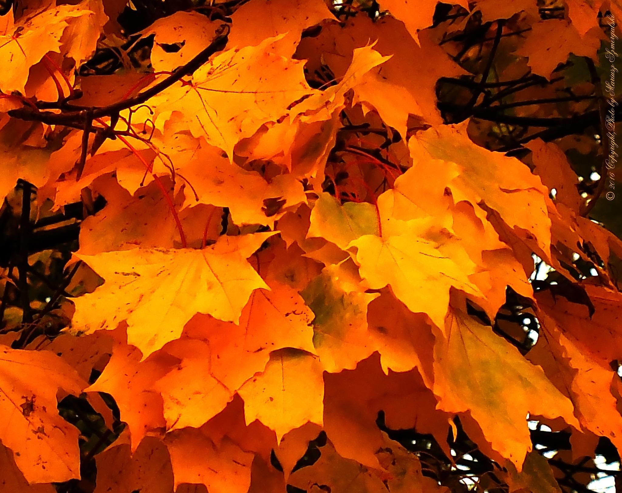 Autumn gold. by jon.rambo.37819