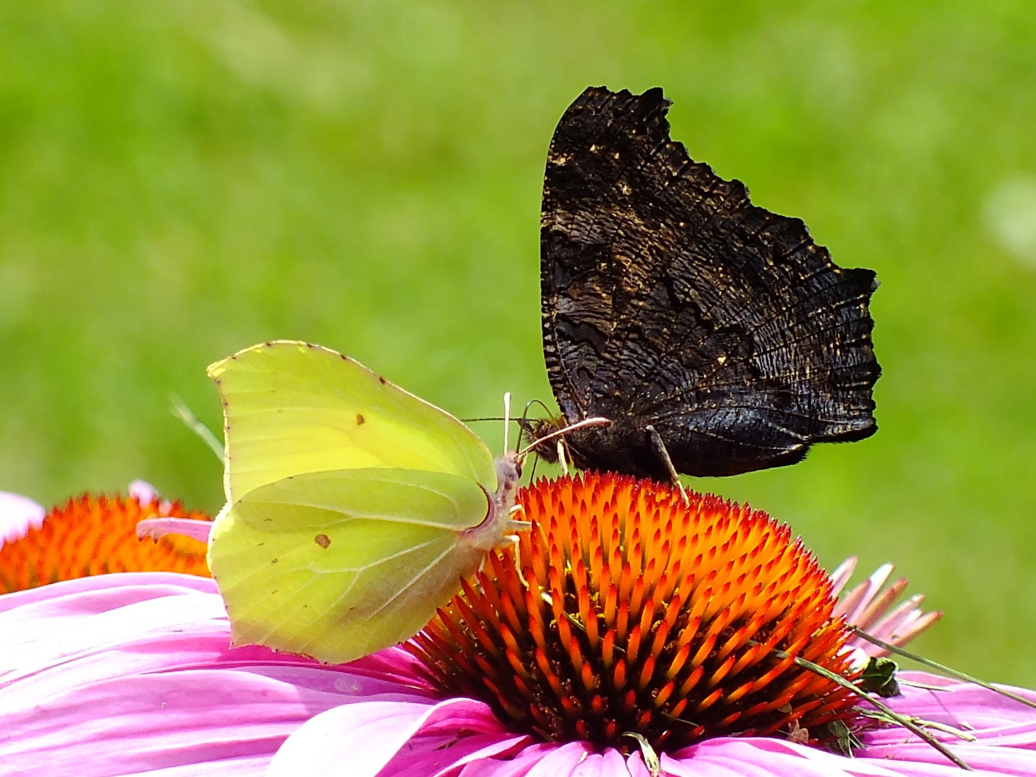 Butterflies by jon.rambo.37819