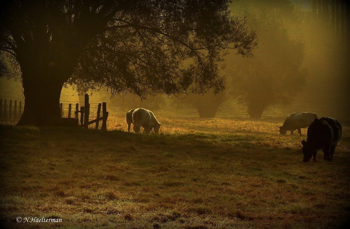 In de vroege morgen grazen de koeien, van het nog natte gras... by nelly.haelterman