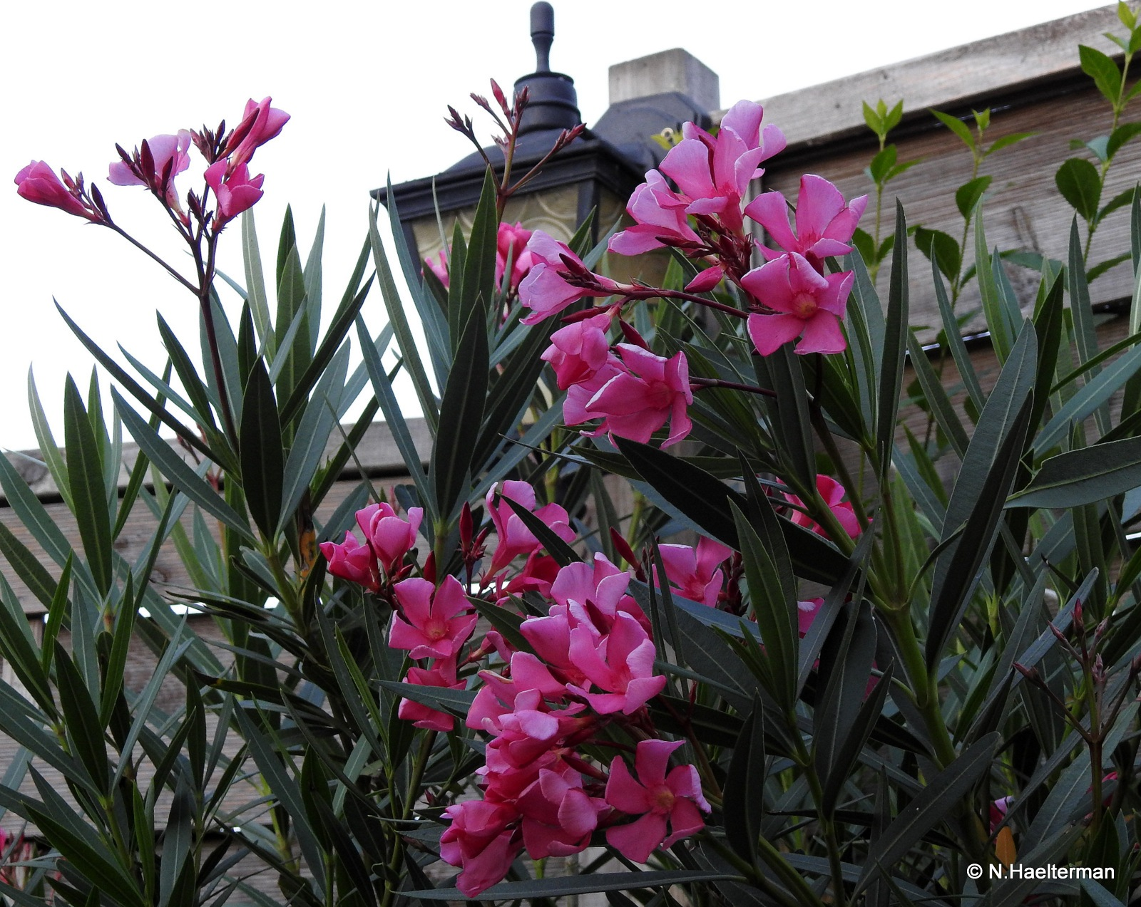 Oleander in volle bloei.. by nelly.haelterman