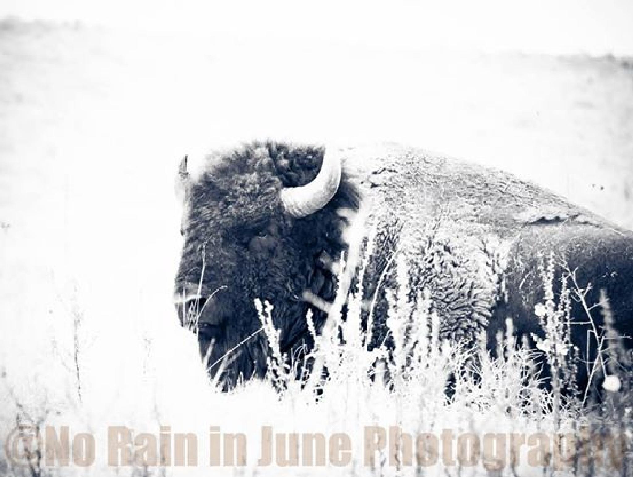 Bison Bull by nicki.jennings
